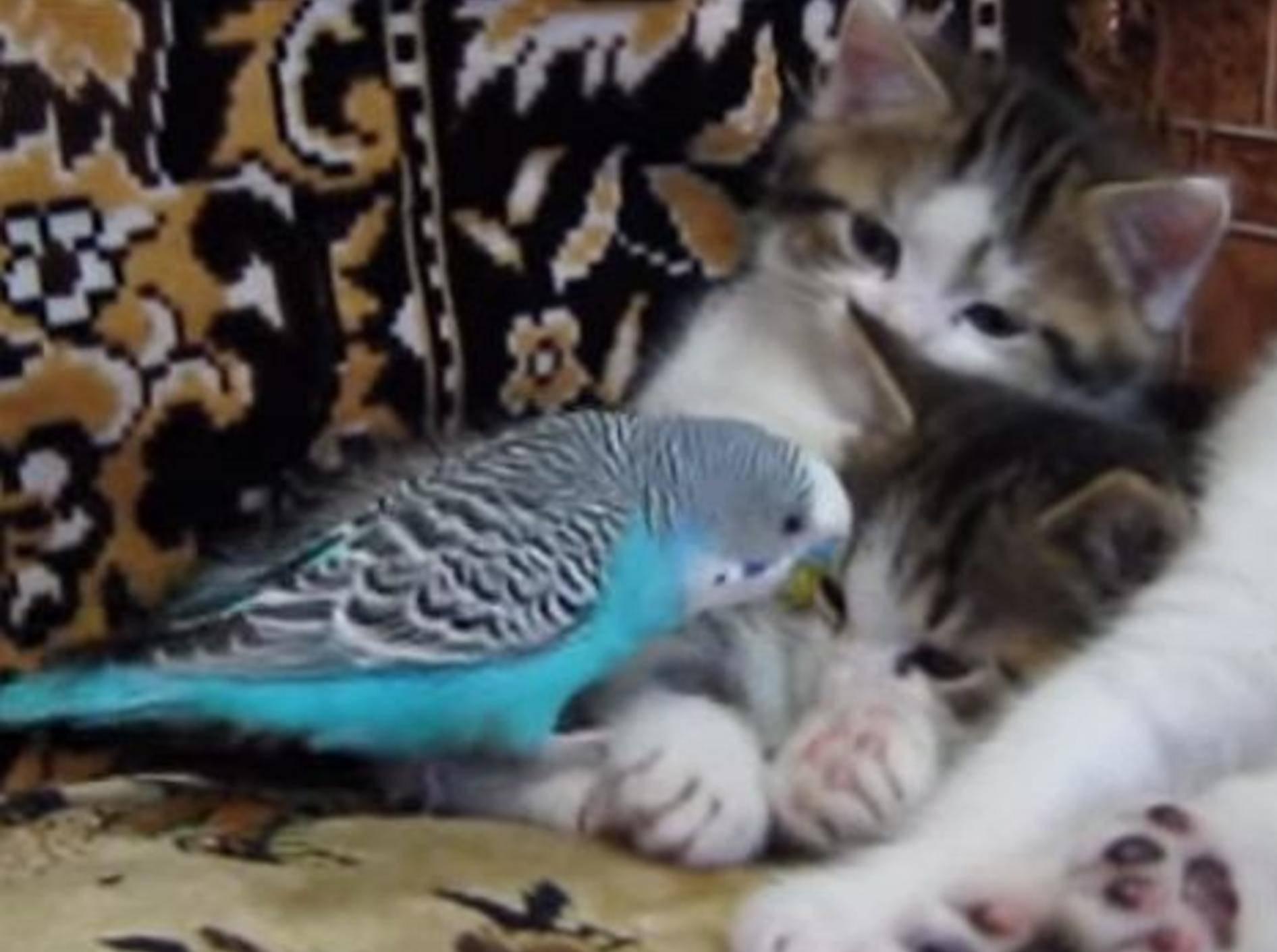 Frecher Wellensittich ärgert Katzenbabys – Bild: Youtube / Канал пользователя Gusev26