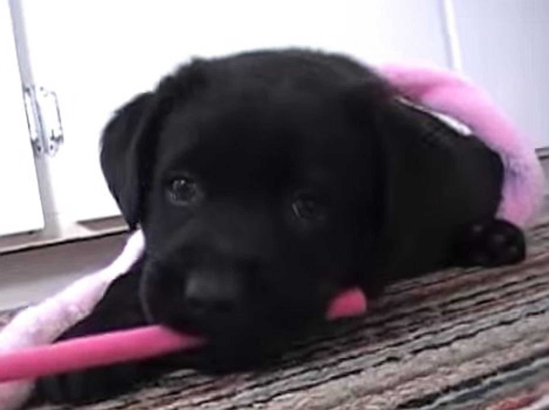 Neues Zuhause für einen schwarzen Labrador-Welpen – Bild: Youtube / IronMooRe