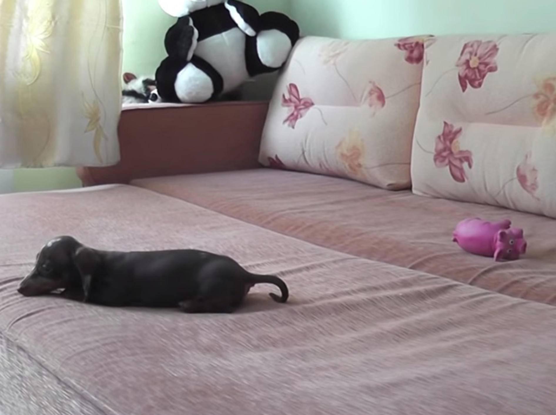 Kleiner Dackelwelpe außer Rand und Band – Bild: Youtube / Always Hungry Cat