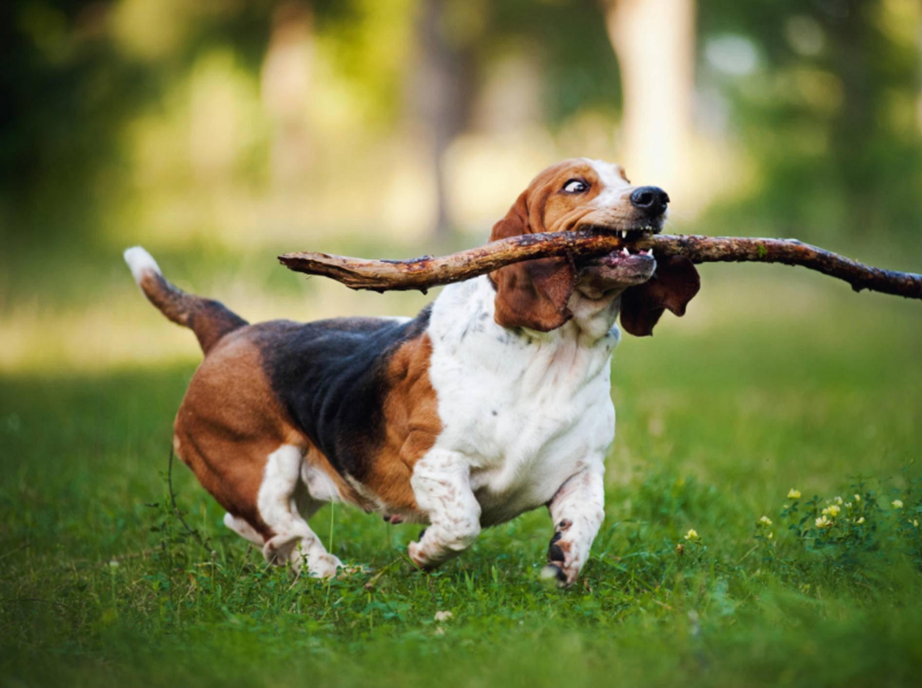 Ein Basset Hound spielt gerne – Bild: Shutterstock/Ksenia Raykova