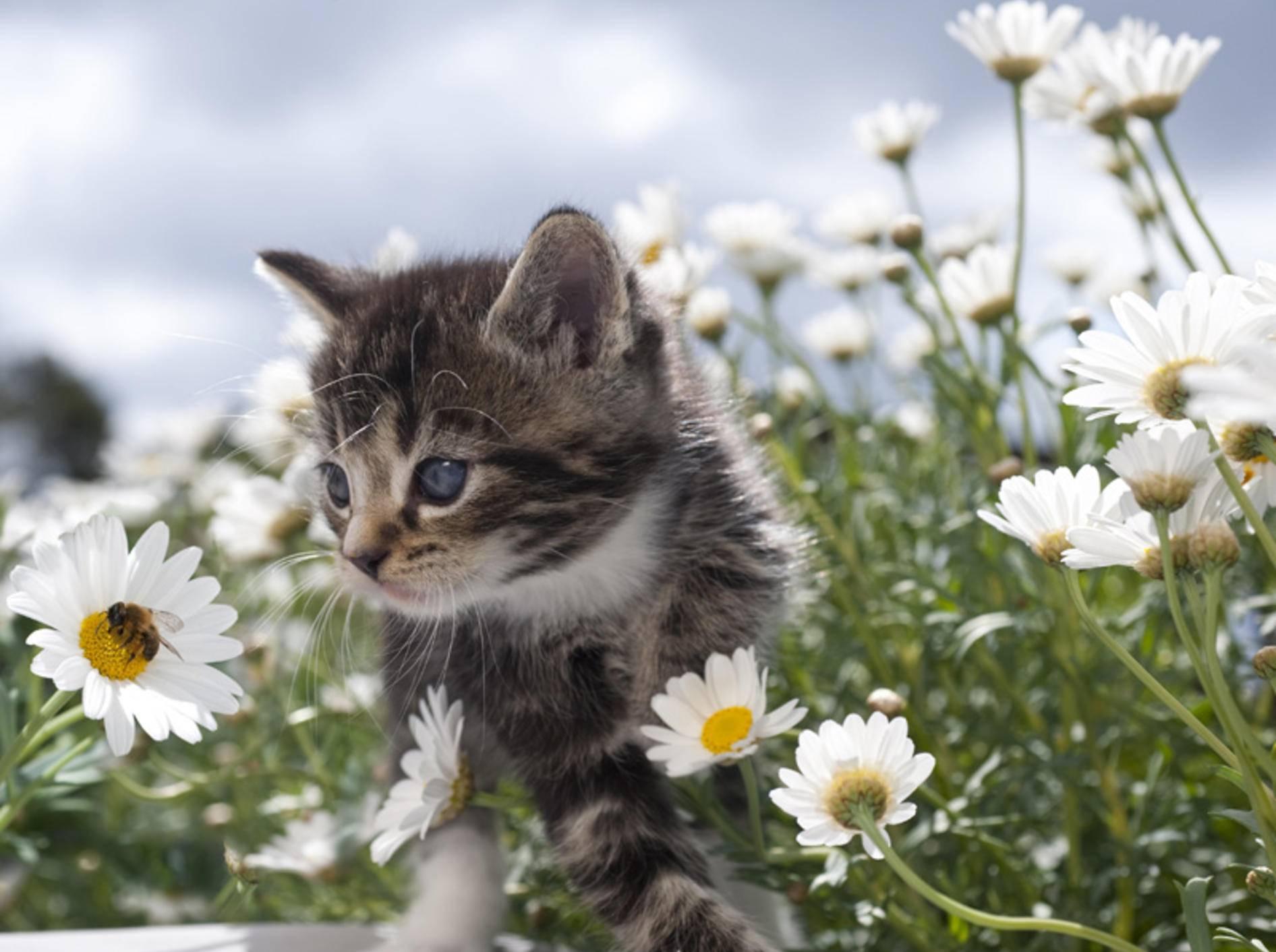 Ein Insektenstich an der Pfote ist für eine Katze sehr schmerzhaft – Bild: Shutterstock / Tom Pingel