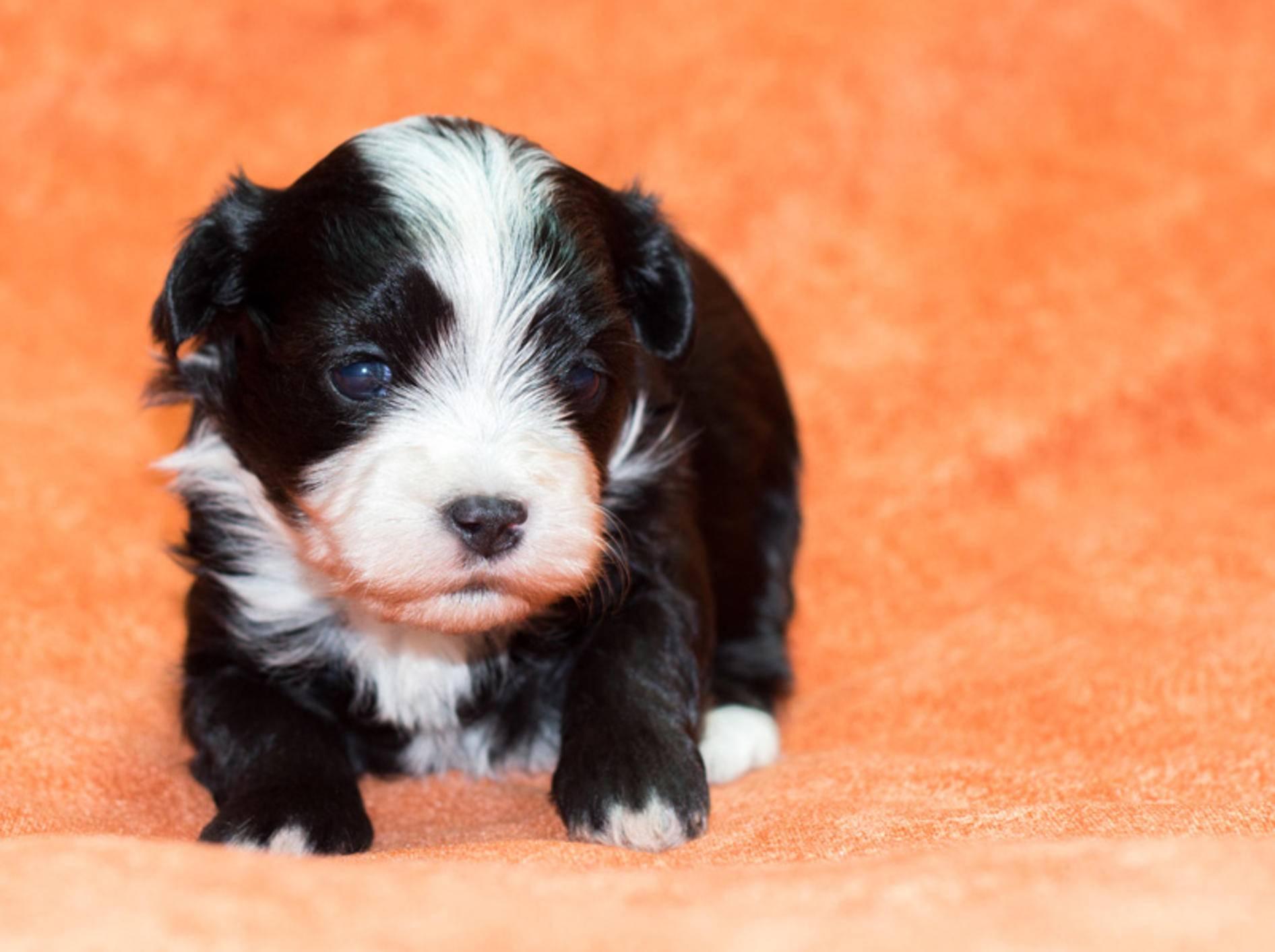 Havaneser-Welpen sollten beim Kauf mindestens zehn Wochen alt sein – Bild: Shutterstock / Sandra Huber