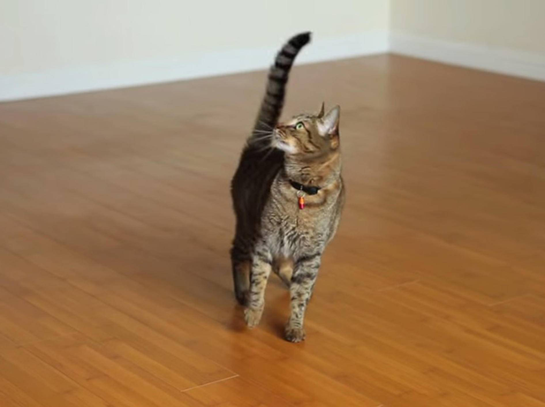 Getigerte Katze führt Ventilator-Tanz auf – Bild: Youtube / TheMeanKitty