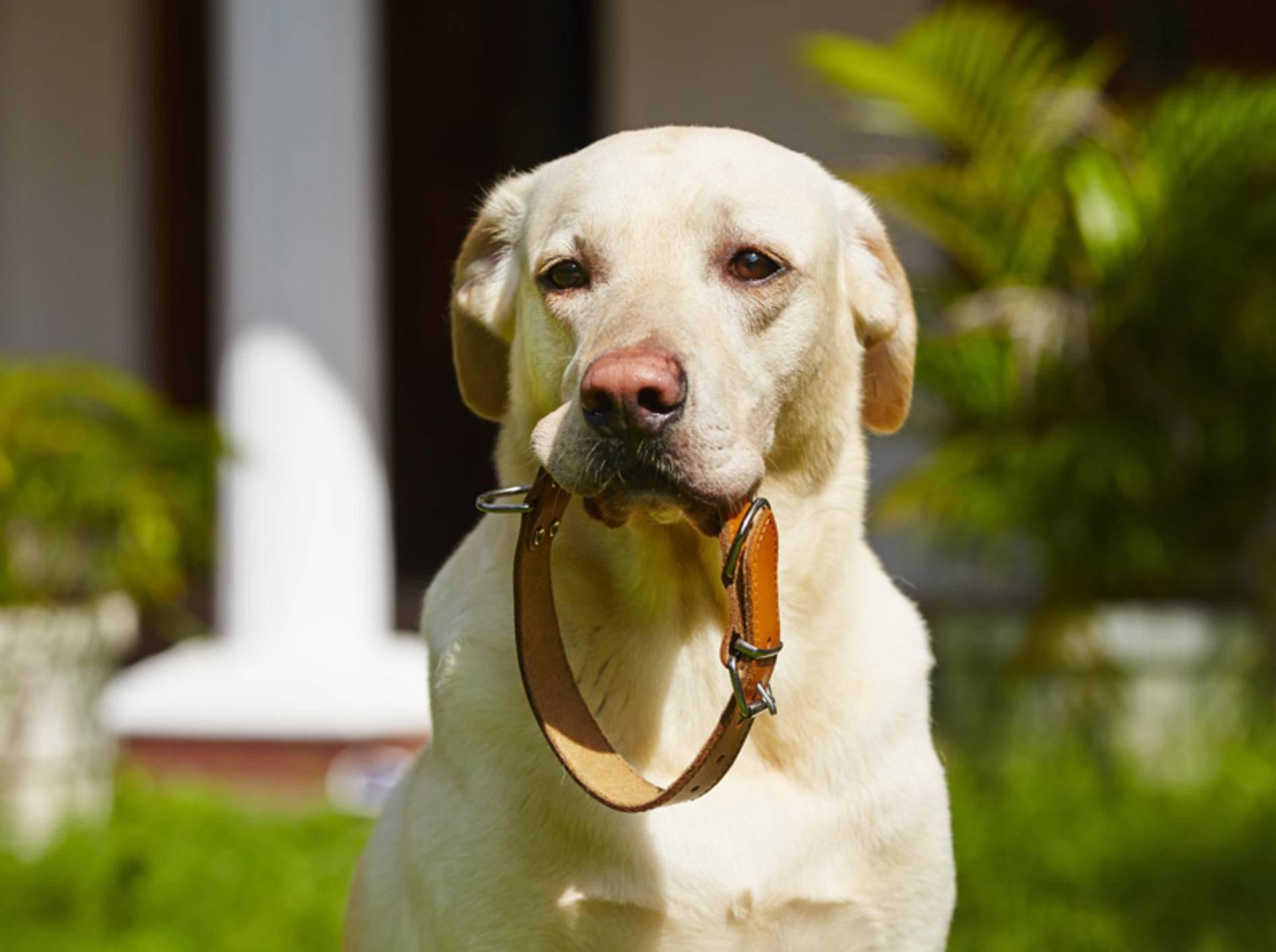 Tipps für das richtige Hundehalsband – Bild: Shutterstock / Jaromir Chalabala