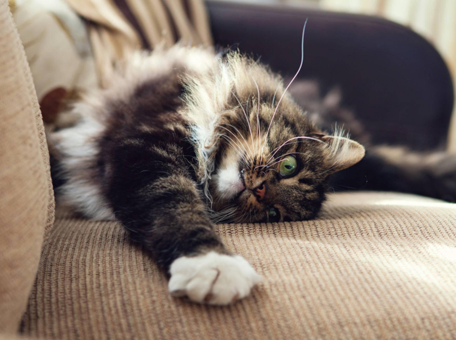 Die Norwegische Waldkatze liebt es, zu kuscheln – Bild: Shutterstock / Magdanatka