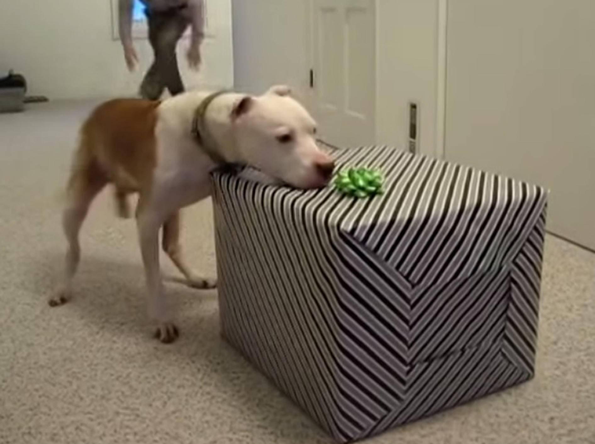 Der schönste Geburtstag für Pitbull Wallace – Bild: Youtube / Wallace the Pit Bull