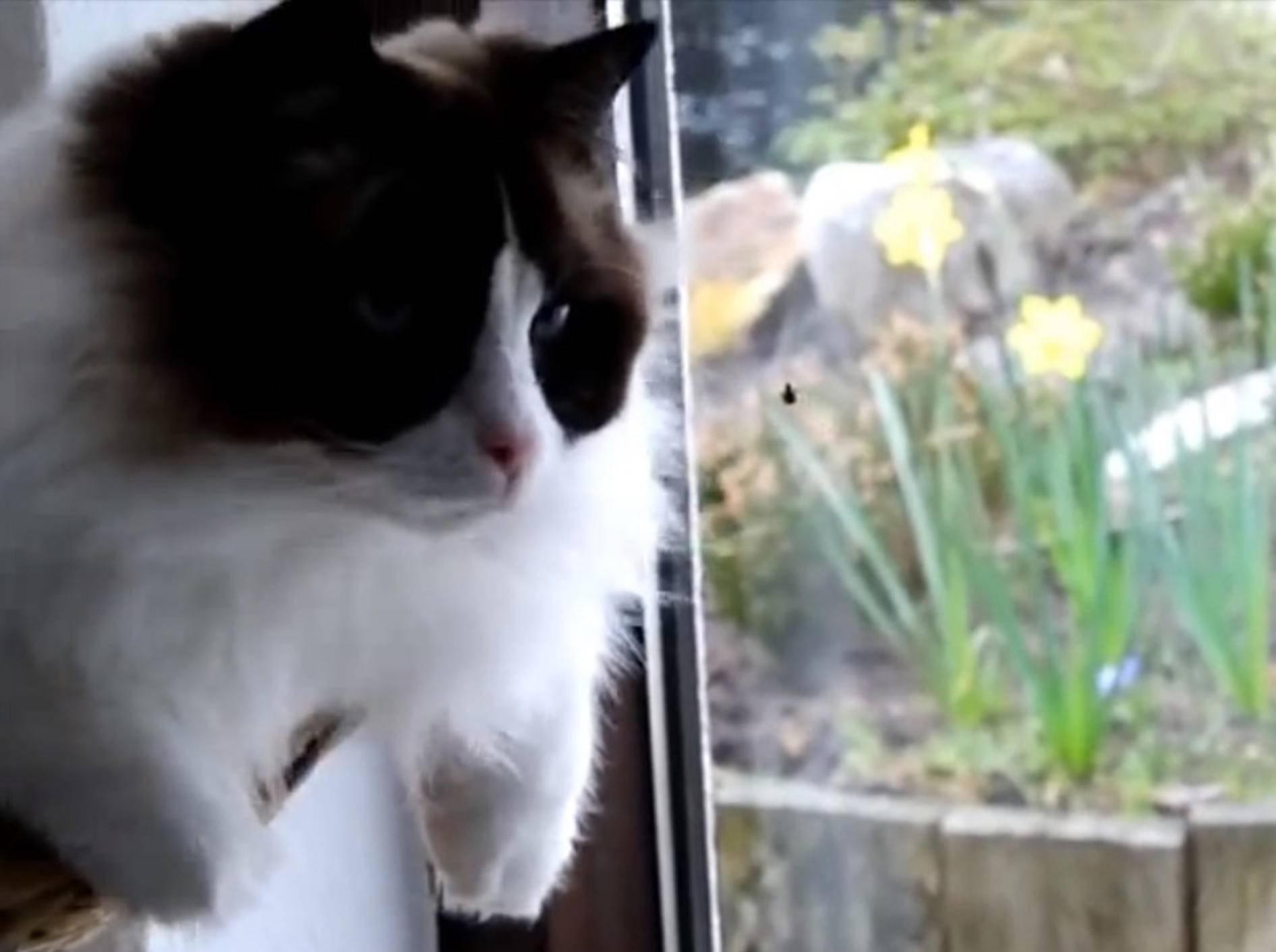 Ragdoll-Kater Timo auf Insektenjagd – Bild: Youtube / Xiedubbel