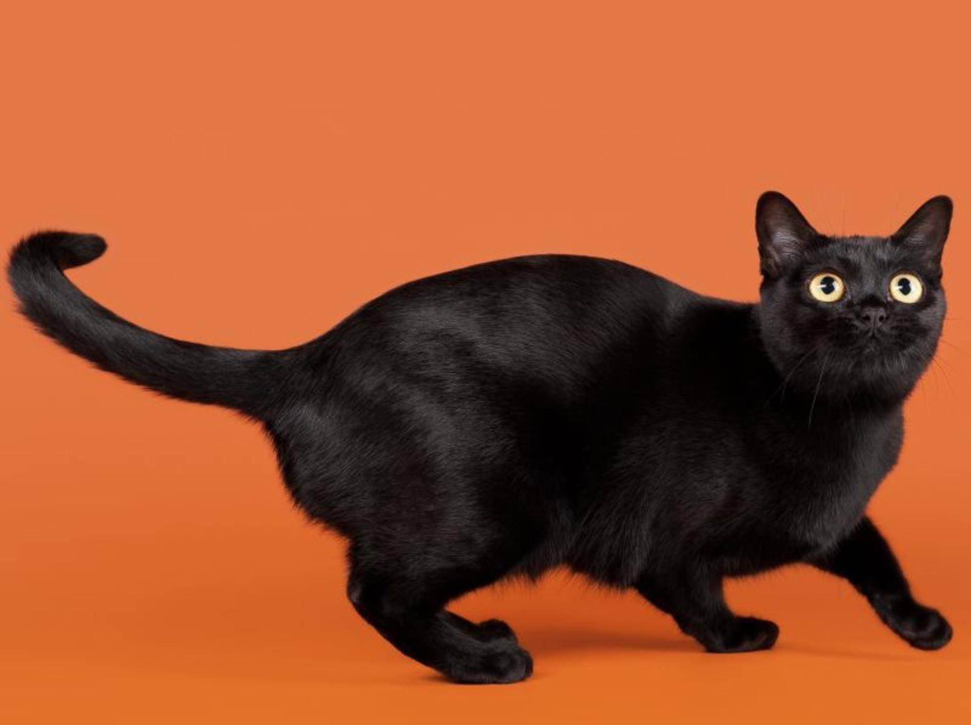 Die Bombay-Katze ist zwar klein, aber muskulös – Bild: Shutterstock / dien