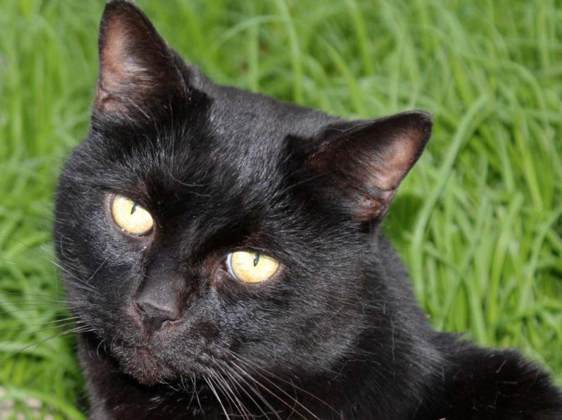 Die Bombay-Katze sieht ein wenig aus wie ein Mini-Panther – Bild: Shutterstock / alybaba
