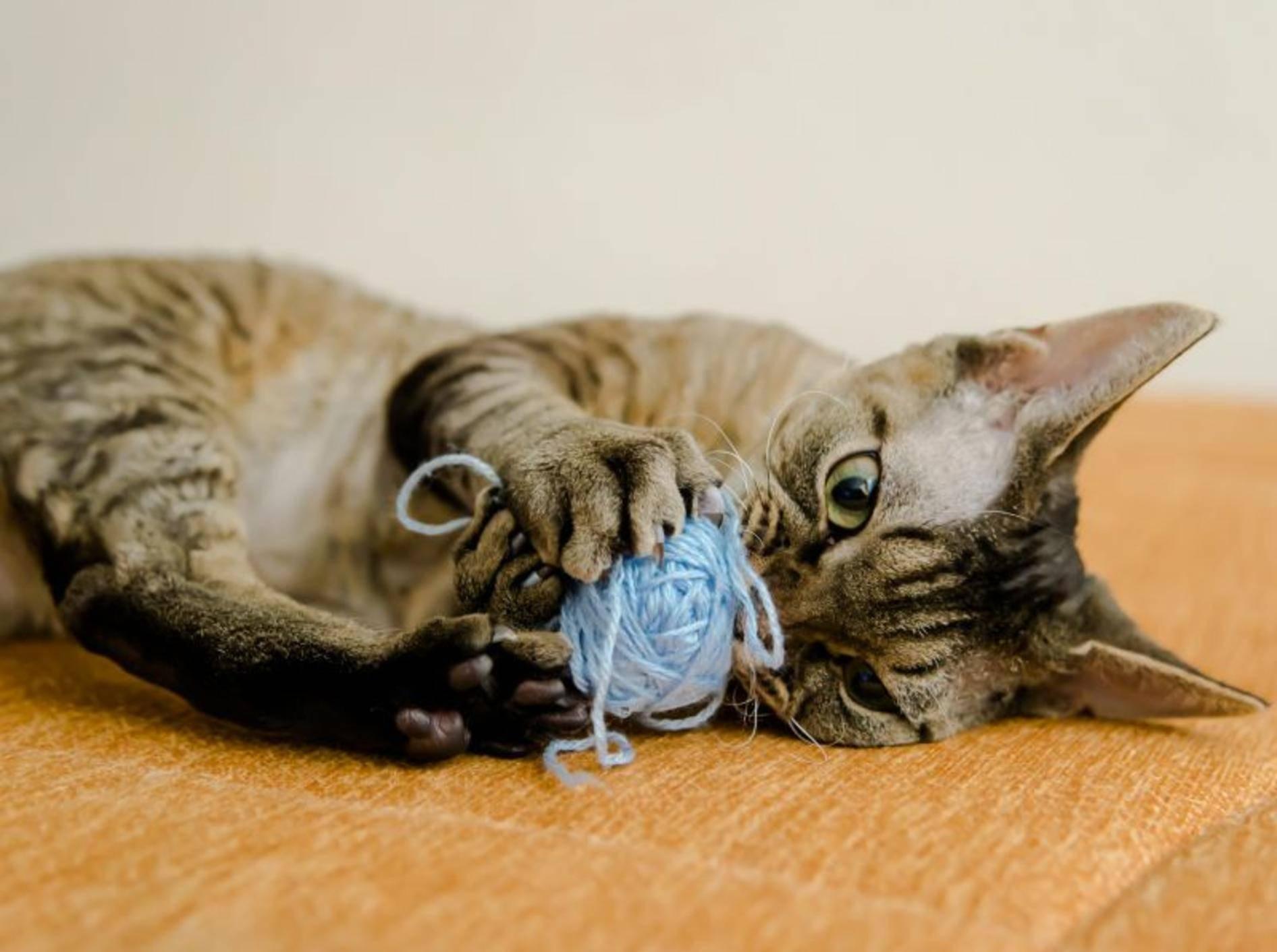 Die Devon Rex ist eine verspielte und anhängliche Katze – Bild: Shutterstock / Berlina