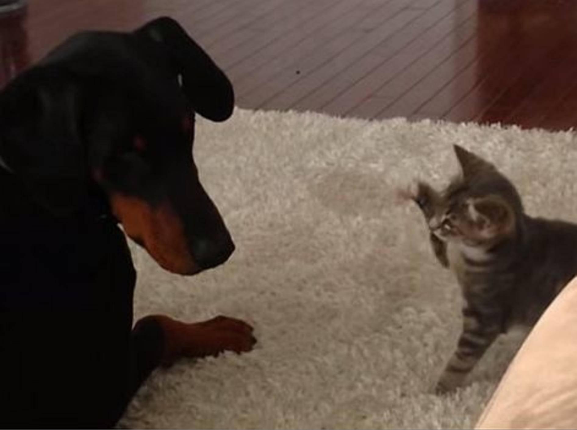 Ninja-Kätzchen versucht Hund zu beeindrucken – Bild: Youtube / Barcroft TV