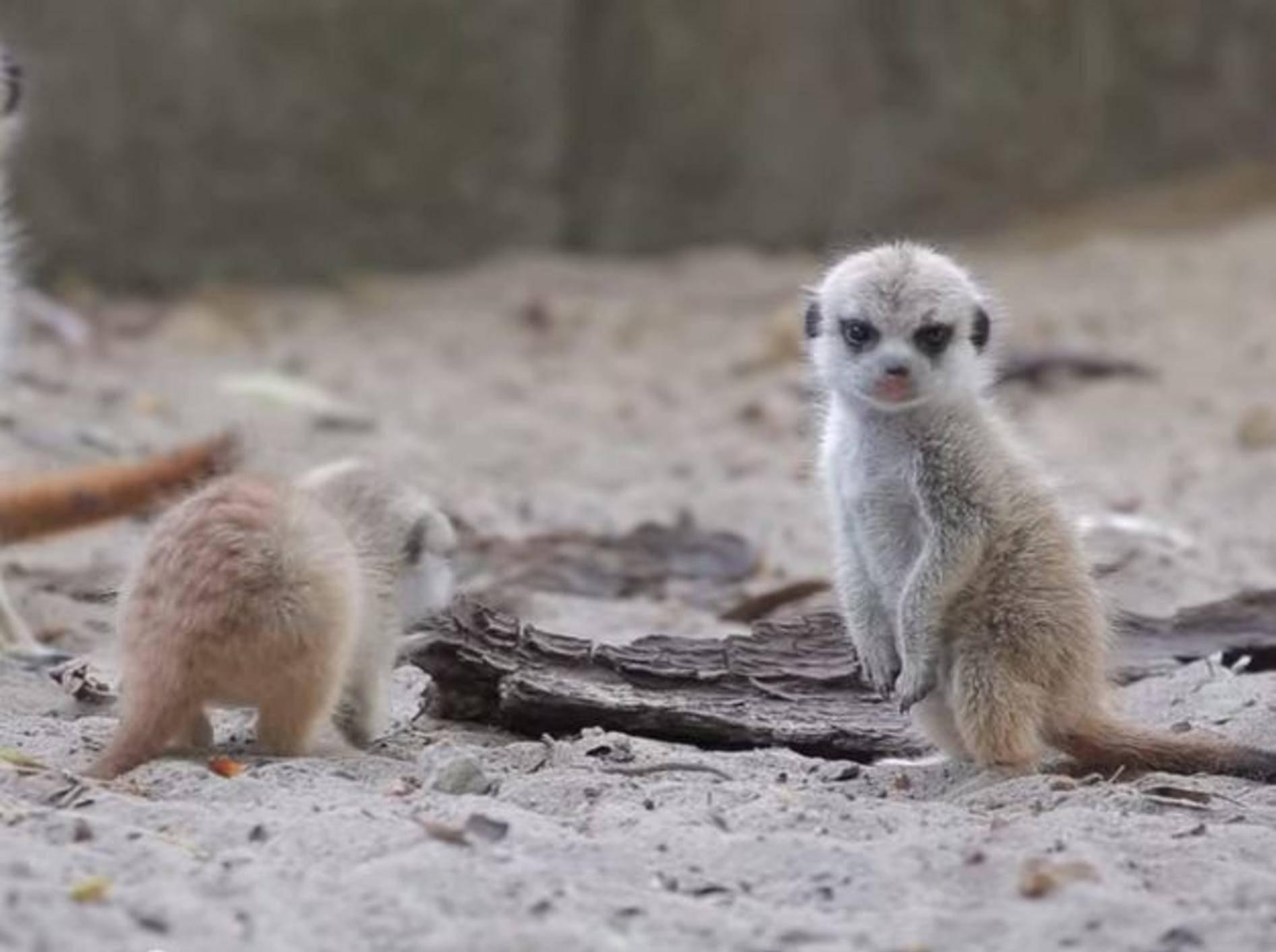 So süß sind Erdmännchenbabys! – Bild: Youtube / Toledo Zoo