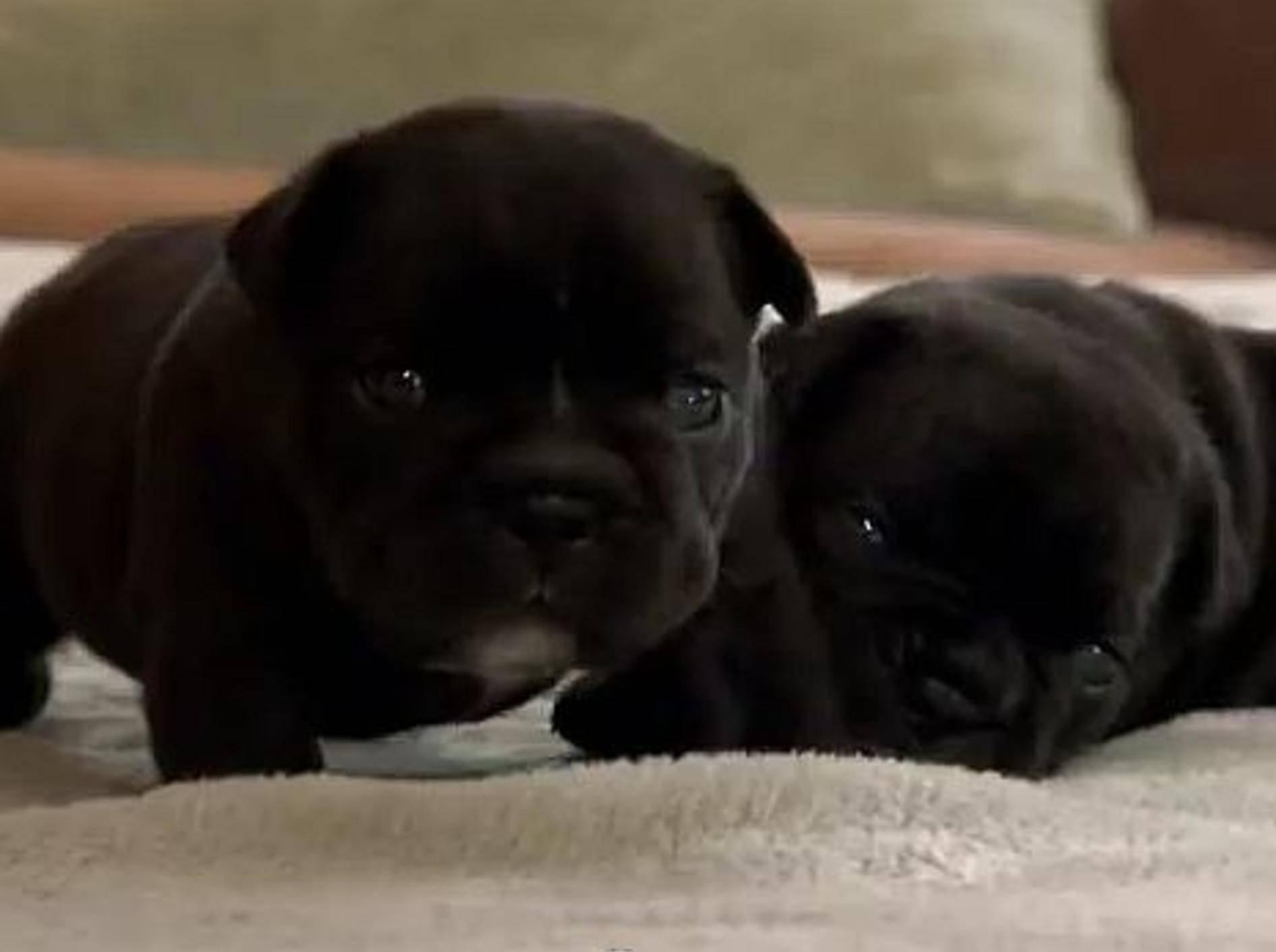 Französische Bulldoggen Welpen auf Abenteuern – Bild: Youtube / Animal Planet