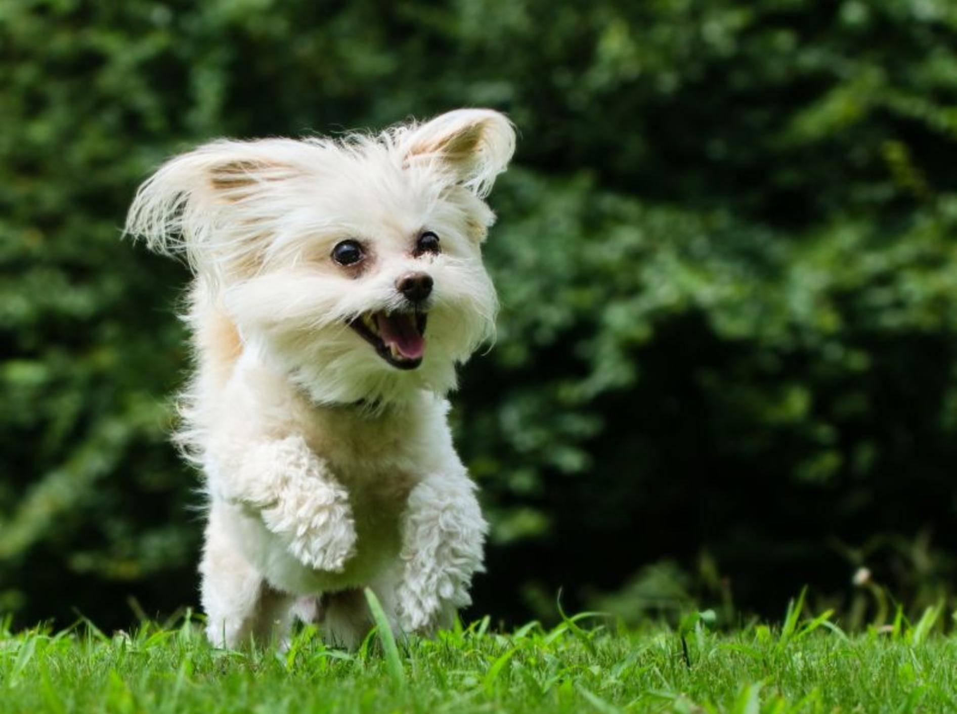 Der Maltipoo hat ein fröhliches und anhängliches Wesen – Bild: Shutterstock / Rob Hainer