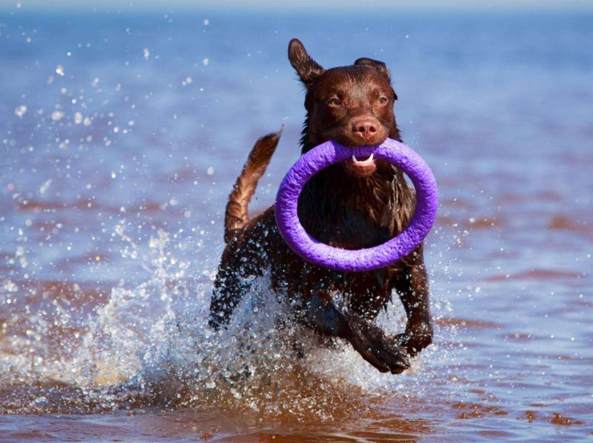 Apportieren macht den meisten Hunden Spaß – Bild: Shutterstock / DragoNika