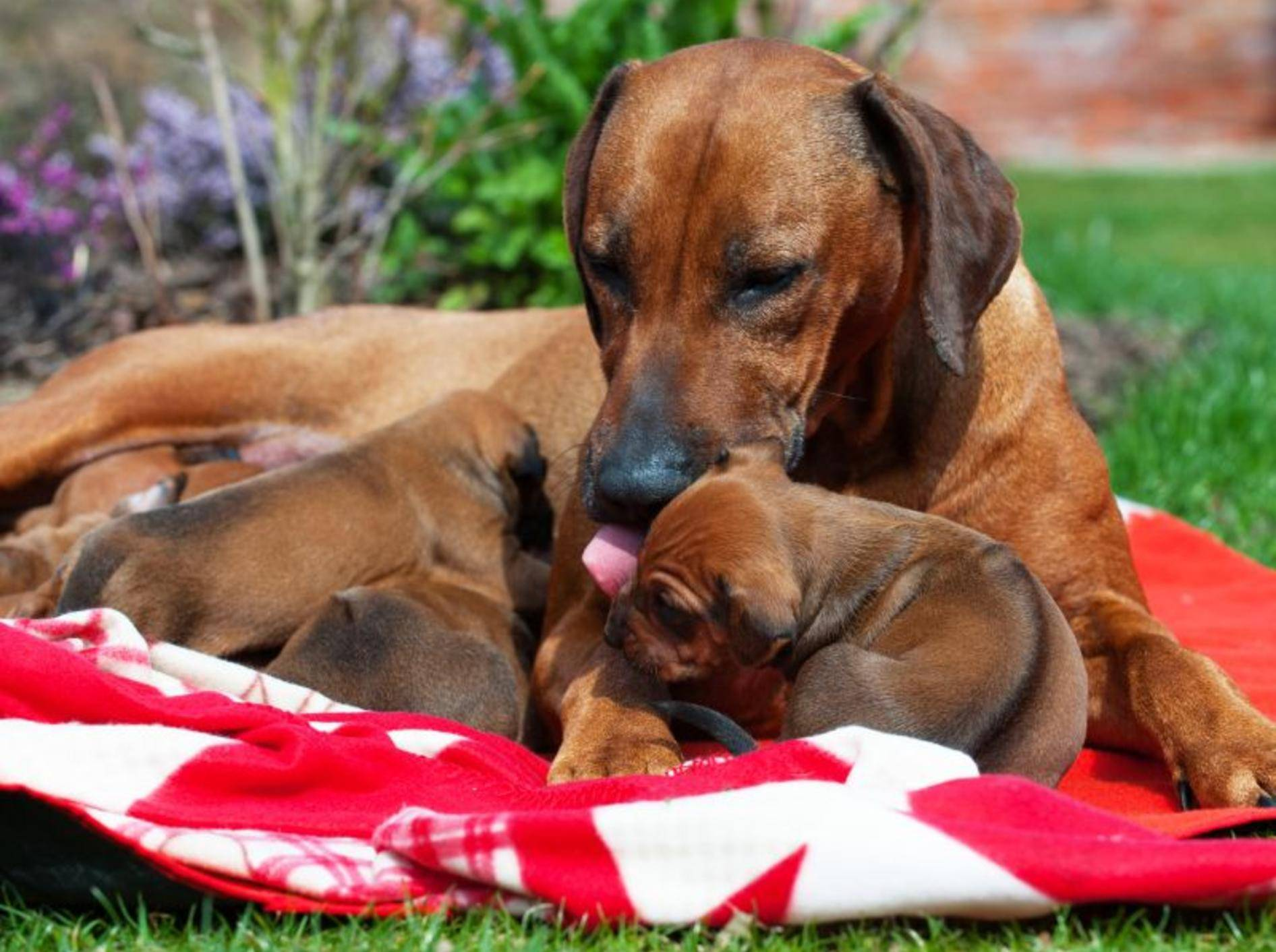 Süße Hundefamilie: Die ersten Monate bleiben die Rhodesian Ridgeback Welpen natürlich bei ihrer Mama – Bild: Shutterstock / nancy dressel