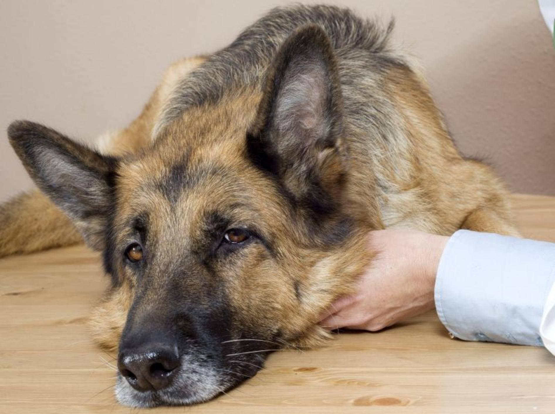 schaeferhund-beim-tierarzt-shutterstock-Roger costa morera