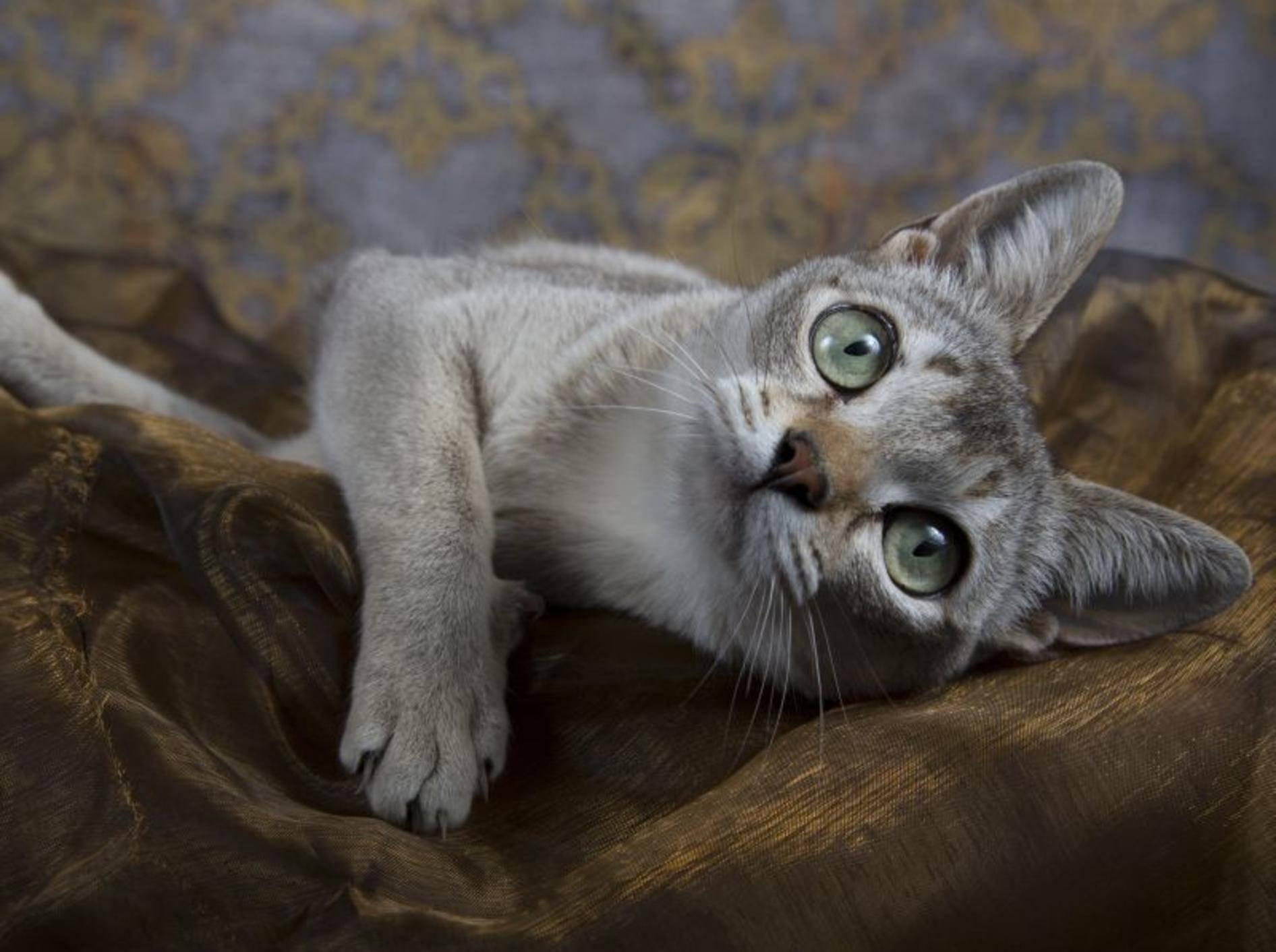 Zu den kleinsten Katzenrassen der Welt gehört die Singapura – Bild: Shutterstock / Jenni Ferreira