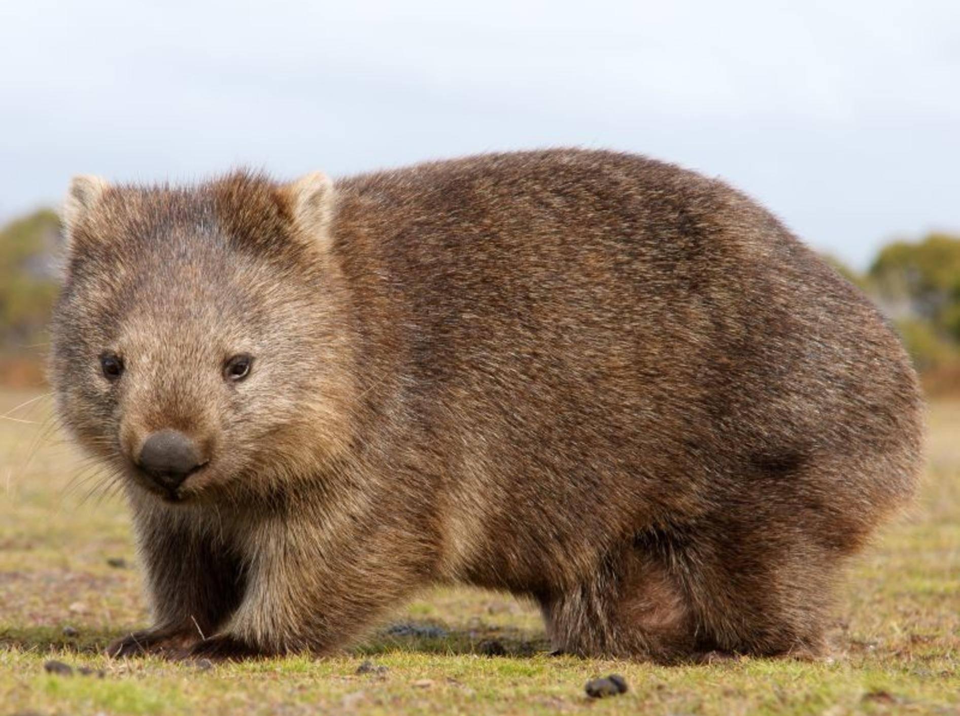 Bär oder Wombat? Dieser kleine Australien-Bewohner könnte beides sein – Bild: Shutterstock / Marco Tomasini