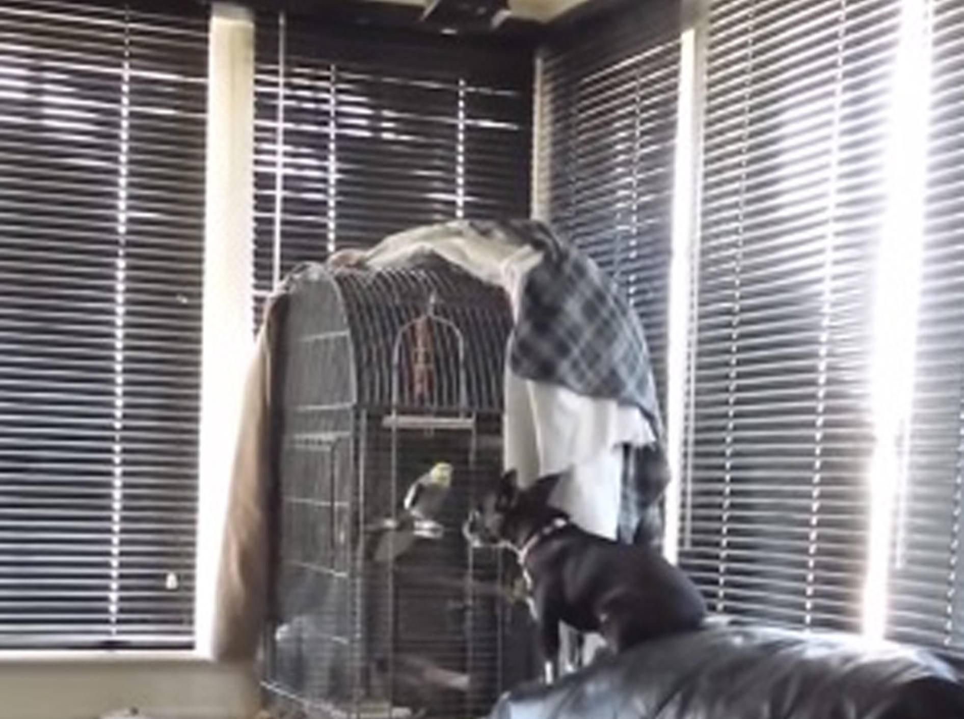 Chihuahua und Kakadu im Gesangsduett – Bild: Youtube / Marc Michaud