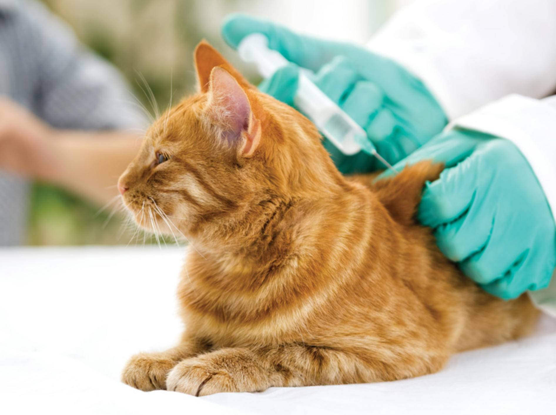 Katzen impfen – es gibt einiges zu bedenken – Bild: Shutterstock / VP Photo Studio