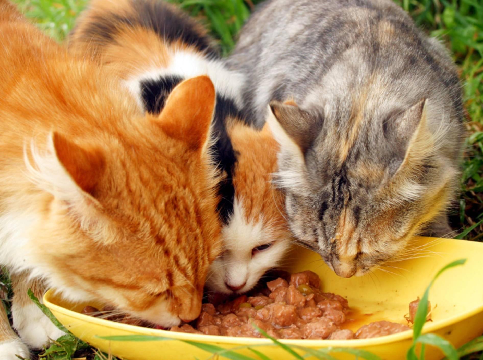Fischrezepte eignen sich prima zum Selbermachen von Katzenfutter – Bild: Shutterstock / saiko3p