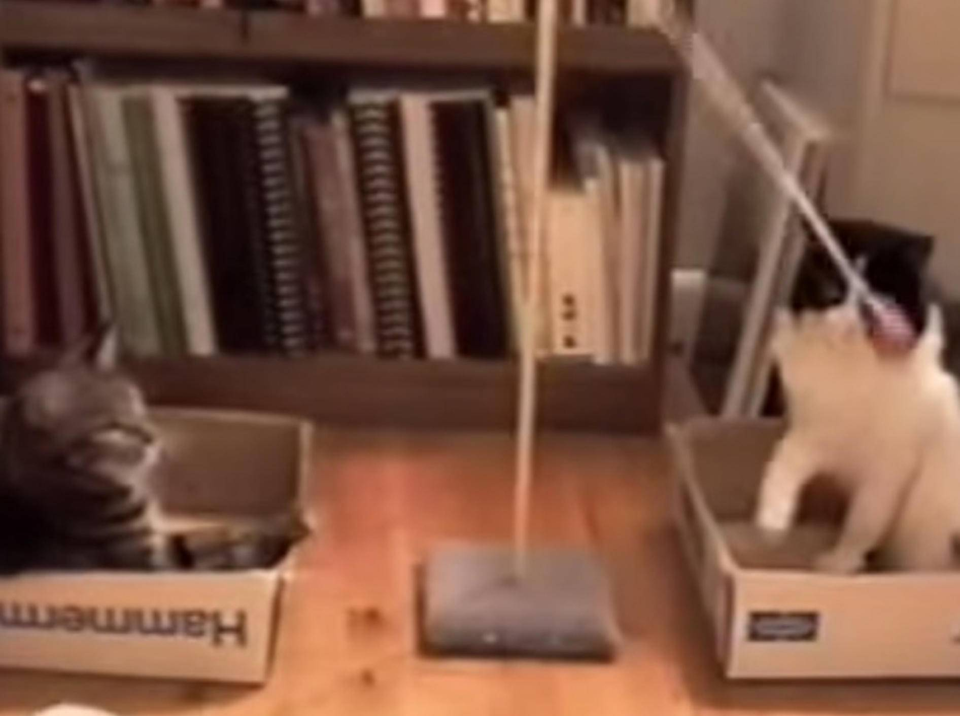 Ball-Spielspaß mit zwei Stubentigern – Bild: Youtube /PetTube