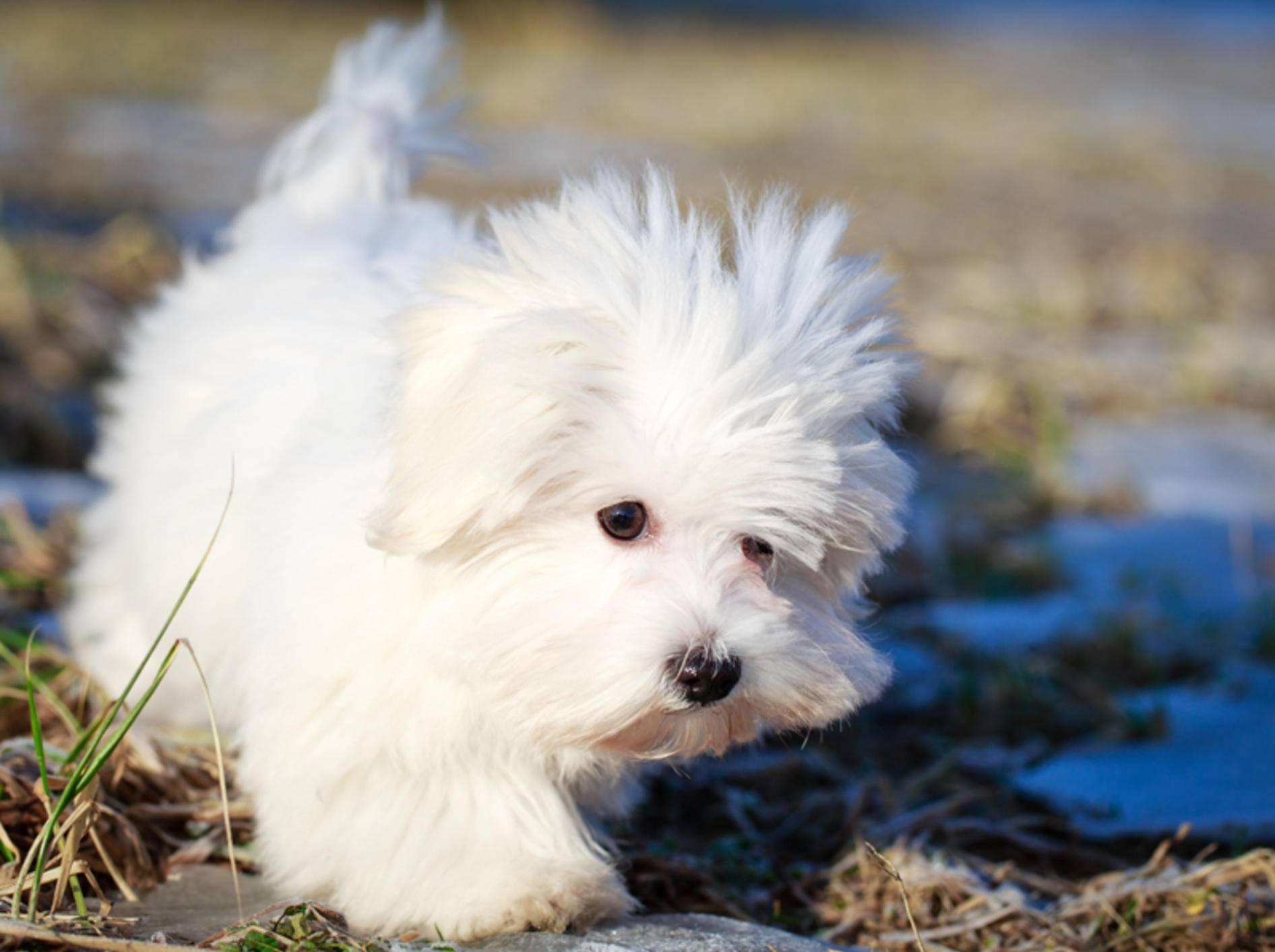 Malteser gehören zu den Kleinsten unter den Vierbeinern – Bild: Shutterstock / DragoNika