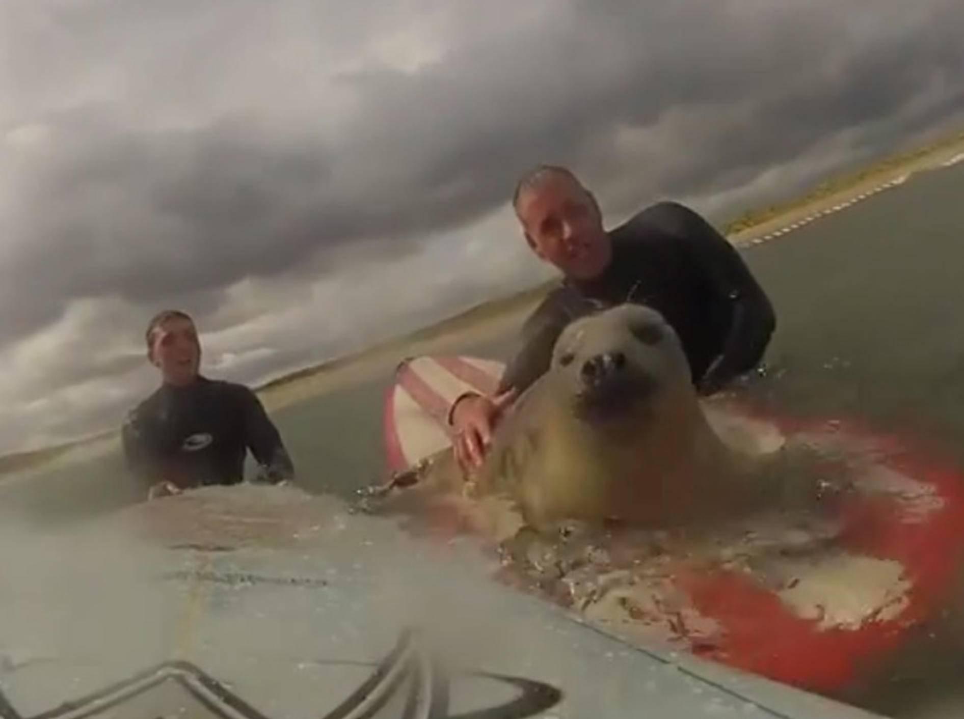 Coole Robbe chillt auf Surfbrett – Bild: Youtube / Insolitevideo