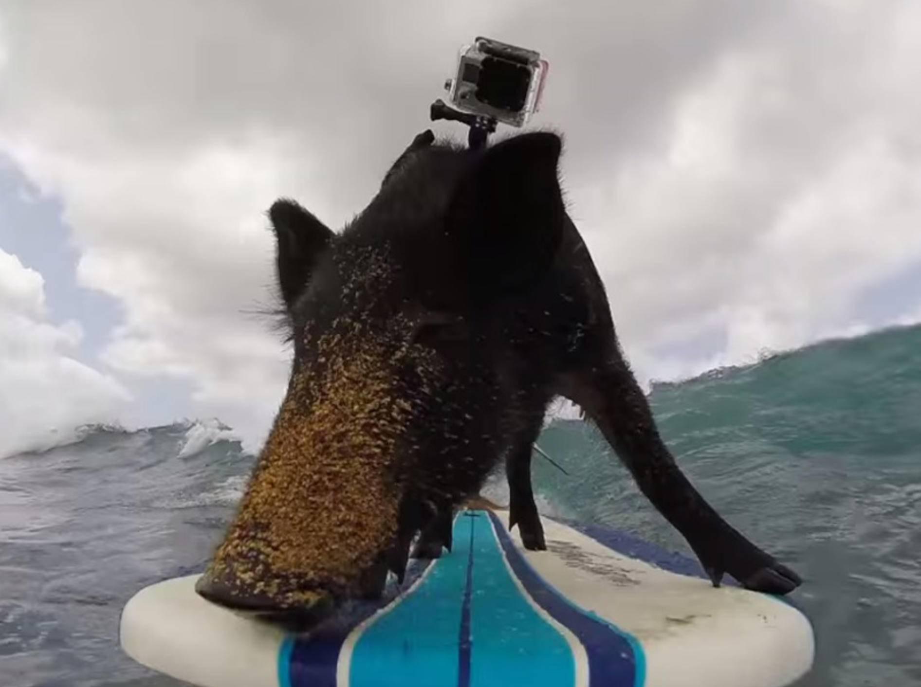 Sportliches Schwein surft auf Hawaii – Bild: Youtube / GoPro