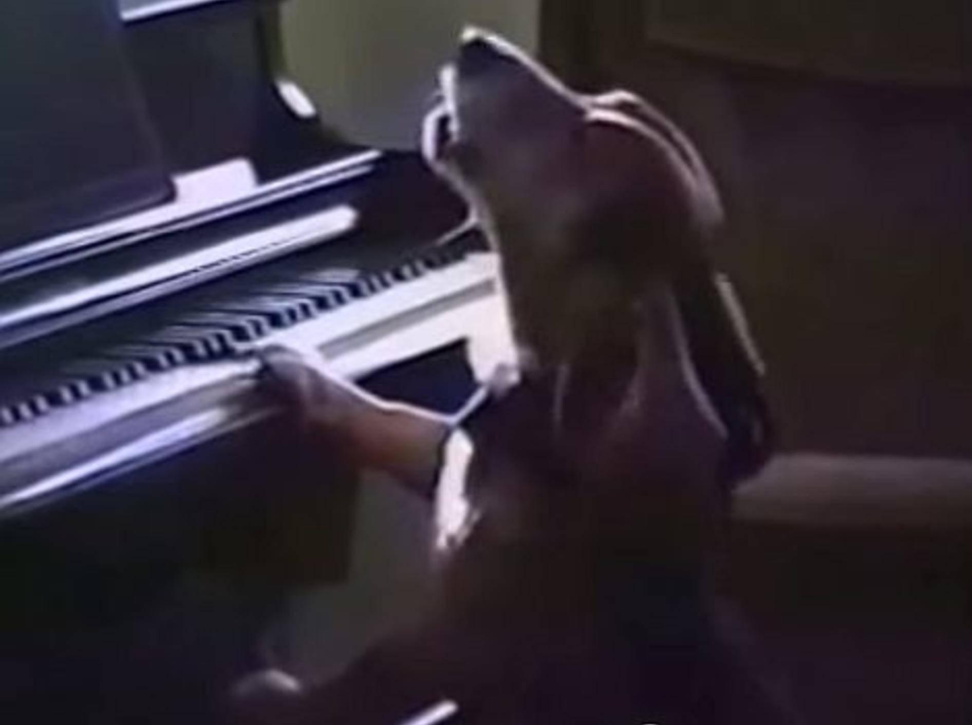 Basset Hound spielt Klavier – Bild: Youtube / TommyBasset