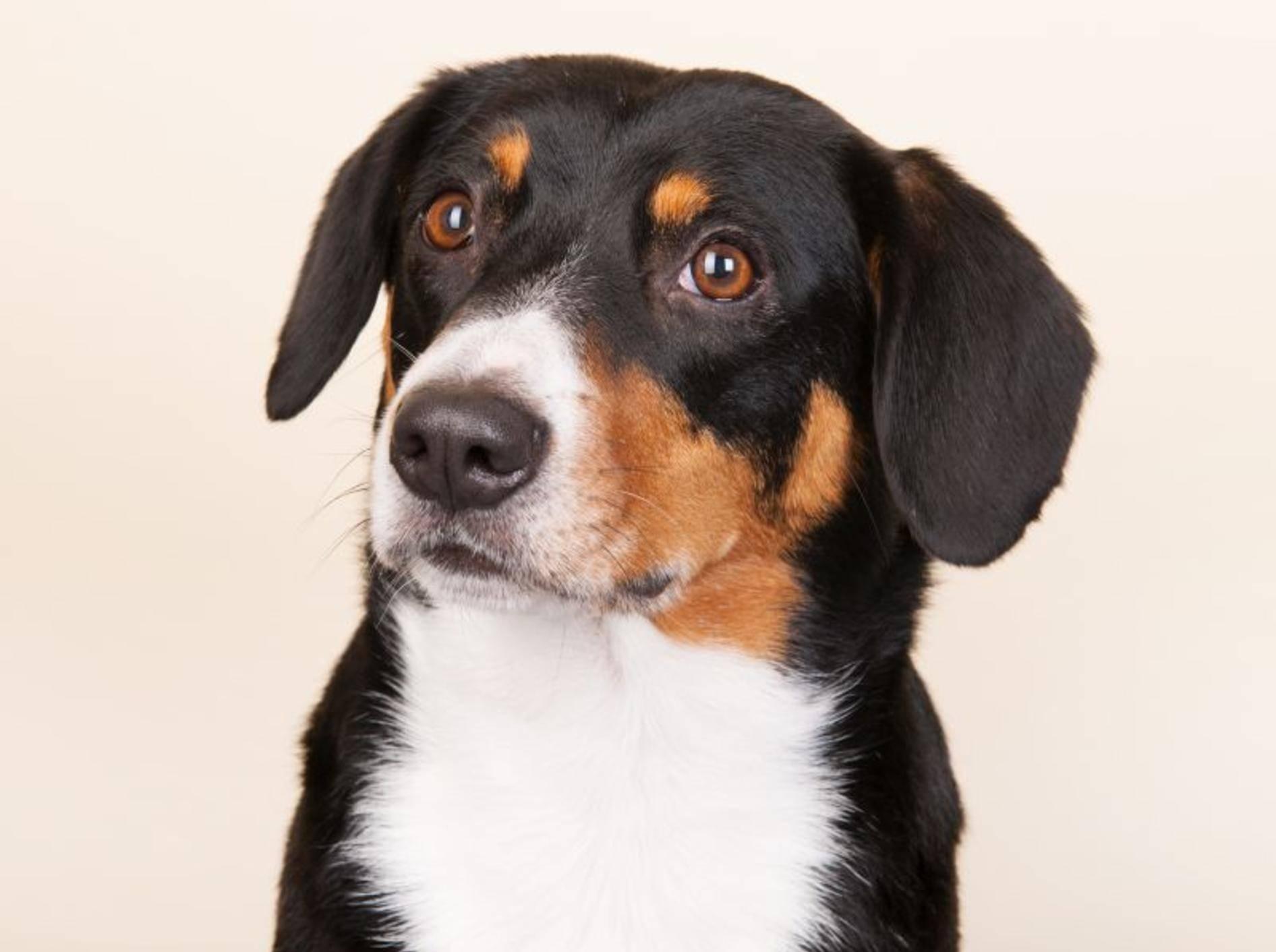 Der Entlebucher Sennenhund aus der Schweiz ist dreifarbig: Schwarz, Lohfarben und Weiß – Bild: Shutterstock / Ivonne Wierink