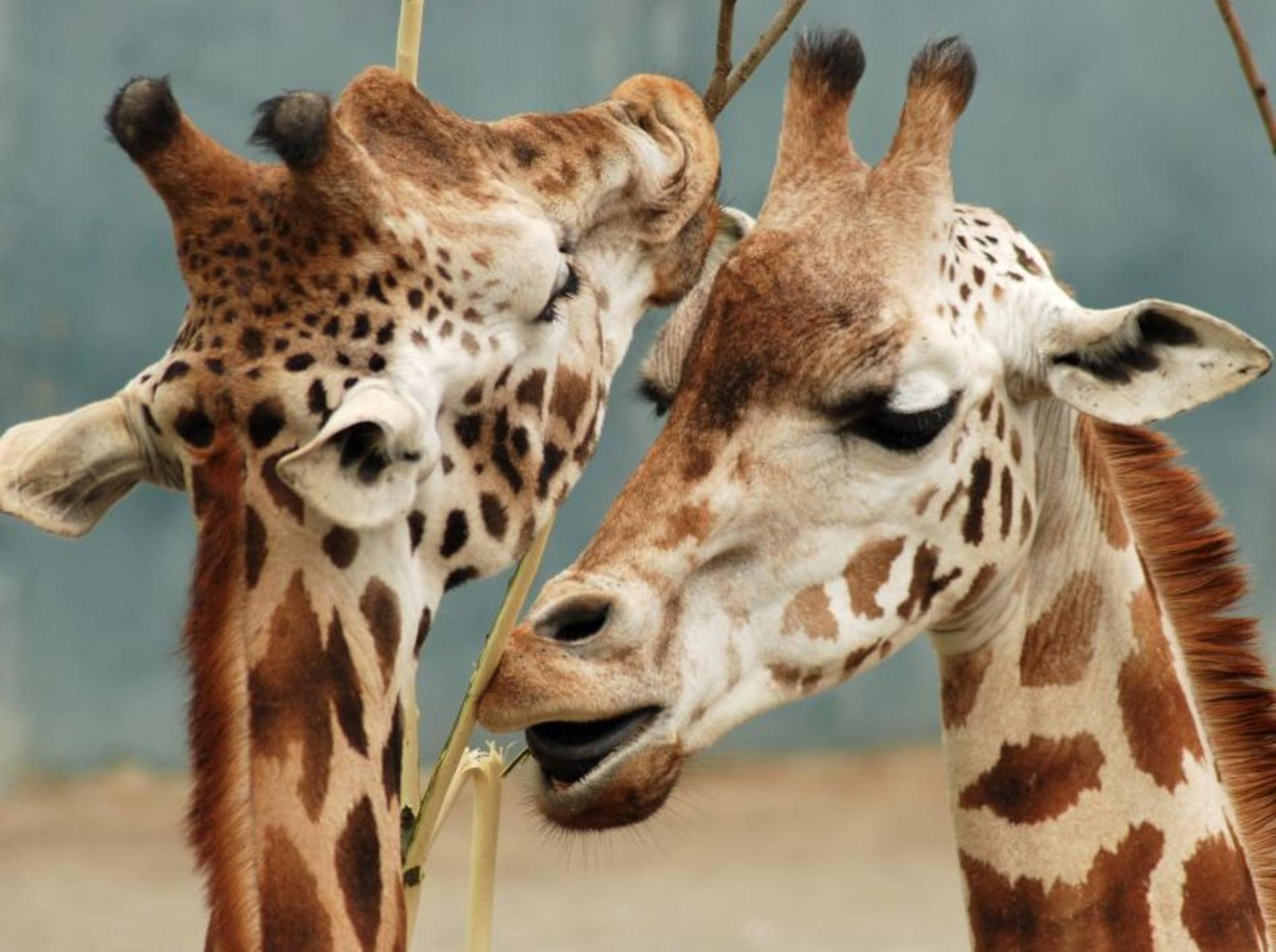 Wie schön: Dieses Giraffenpärchen macht den Anfang in unserer Bildergalerie – Bild: Shutterstock / fishandfish