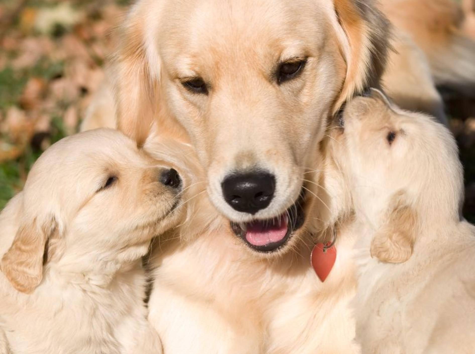Kuscheln mit Mama: Diese Golden-Retriever-Welpen sind noch ganz klein – Bild: Shutterstock / vahamrick