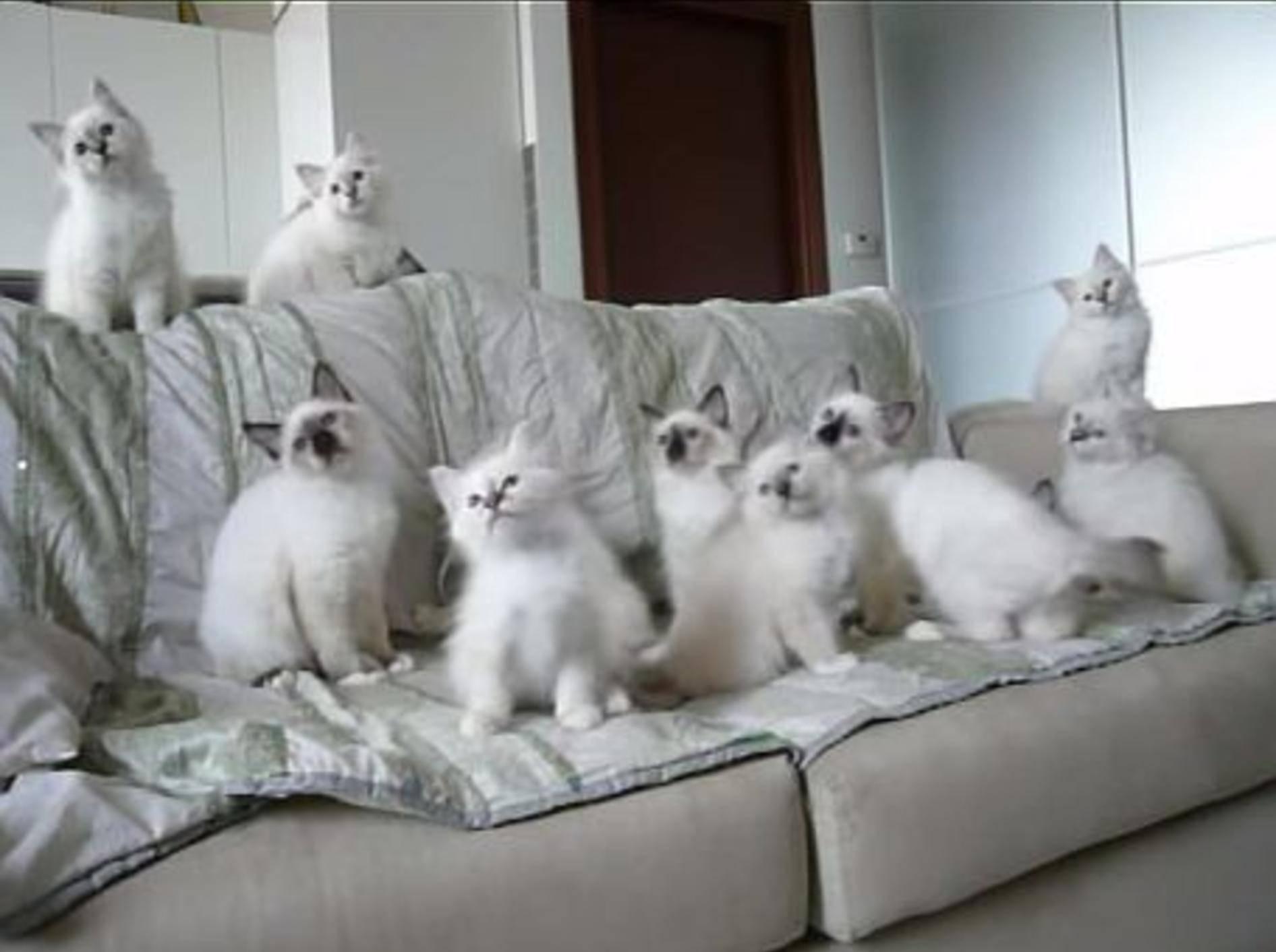 Elf Heilige-Birma-Katzenbabys beim Spielen – Bild: Youtube / Sacred Birman cats