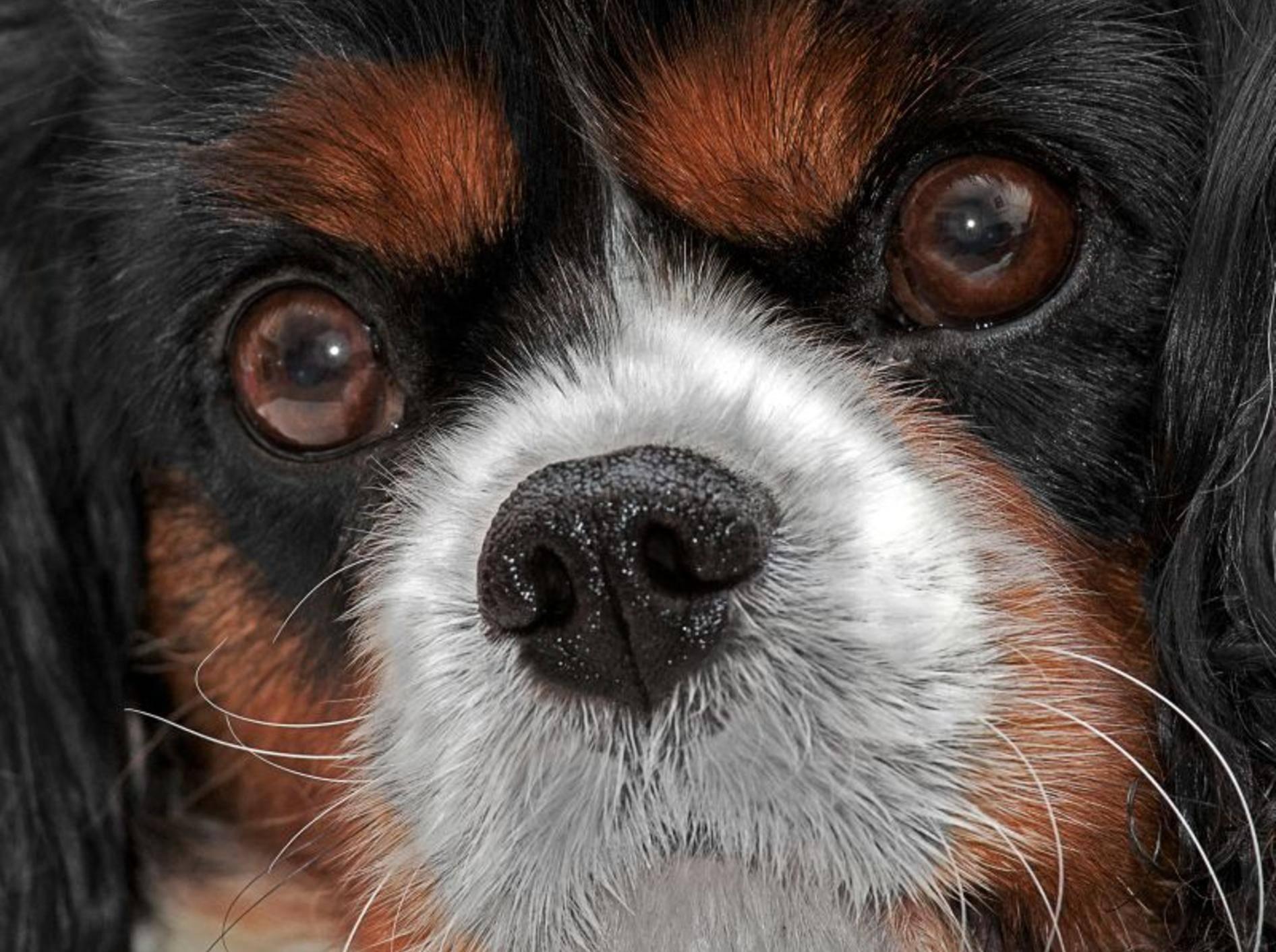 Grauer Star: Das Auge des Hundes wird immer trüber – Bild: Shutterstock / ShaunWilkinson