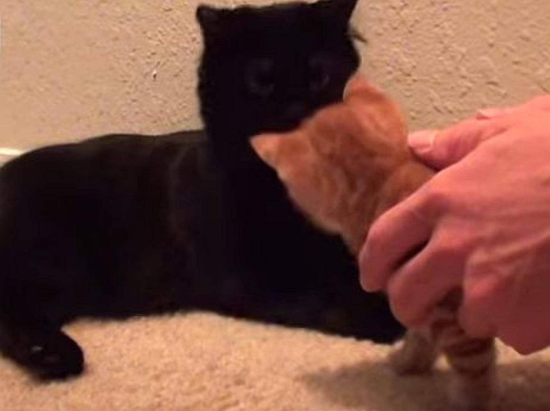 Videotipps: Katzenbaby an ältere Katze gewöhnen – Bild: Youtube / Cole theBlackCat