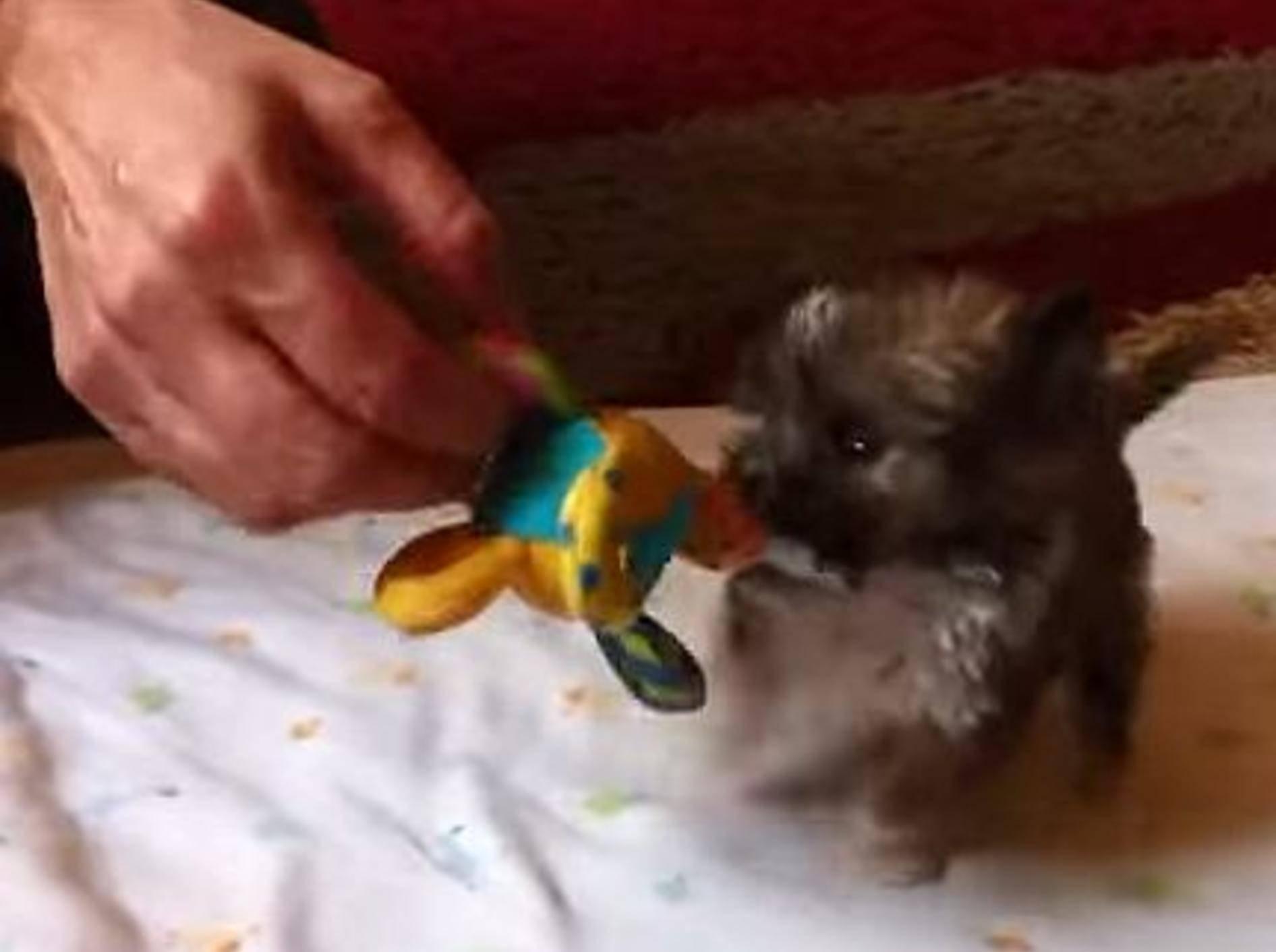 Kleinster Hund von Großbritannien? – Bild: Youtube / SWNS TV