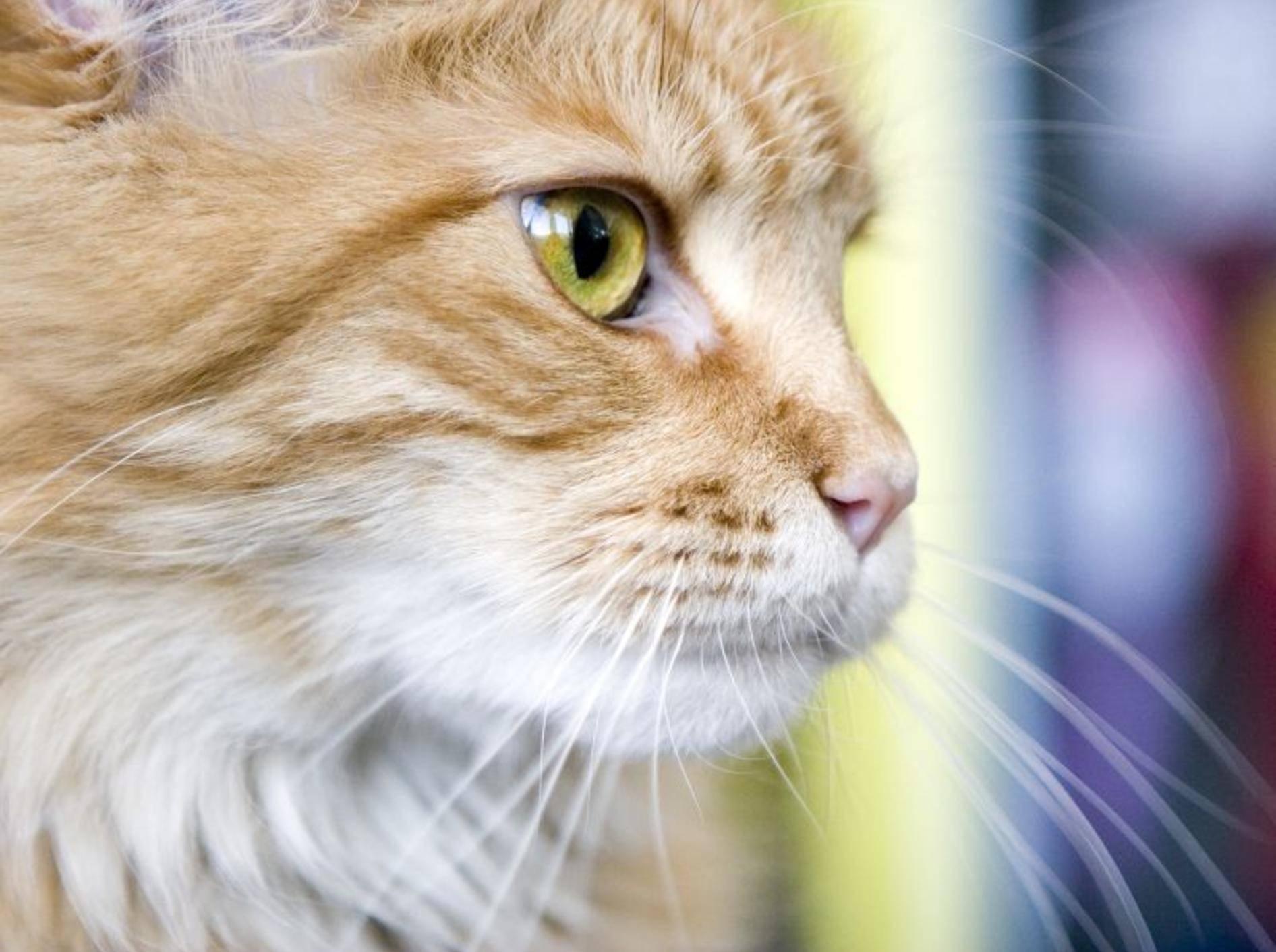 Schön und besonders: Die Maine-Coon-Katze – Bild: Shutterstock / Julia Pivovarova