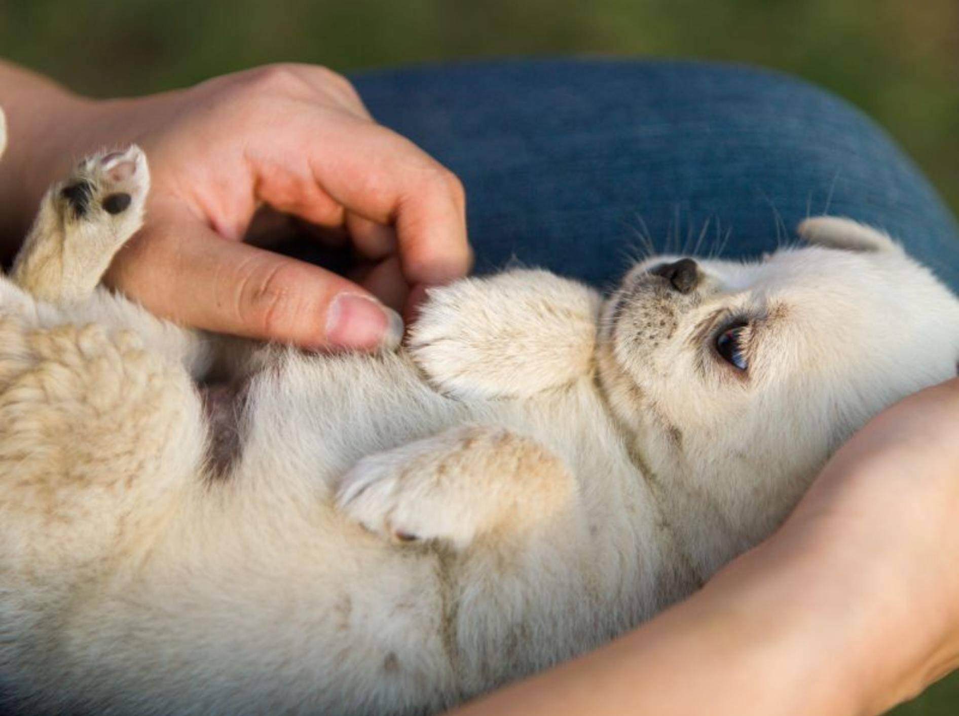 Der Samojede ist ein freundlicher und recht leicht erziehbarer Hund – Bild: Shutterstock / L.F.