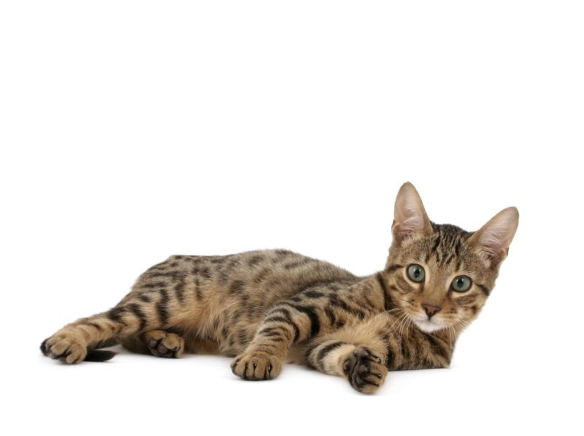 Eine schöne Exotin: Die Serengeti-Katze – Bild: Shutterstock / Krissi Lundgren