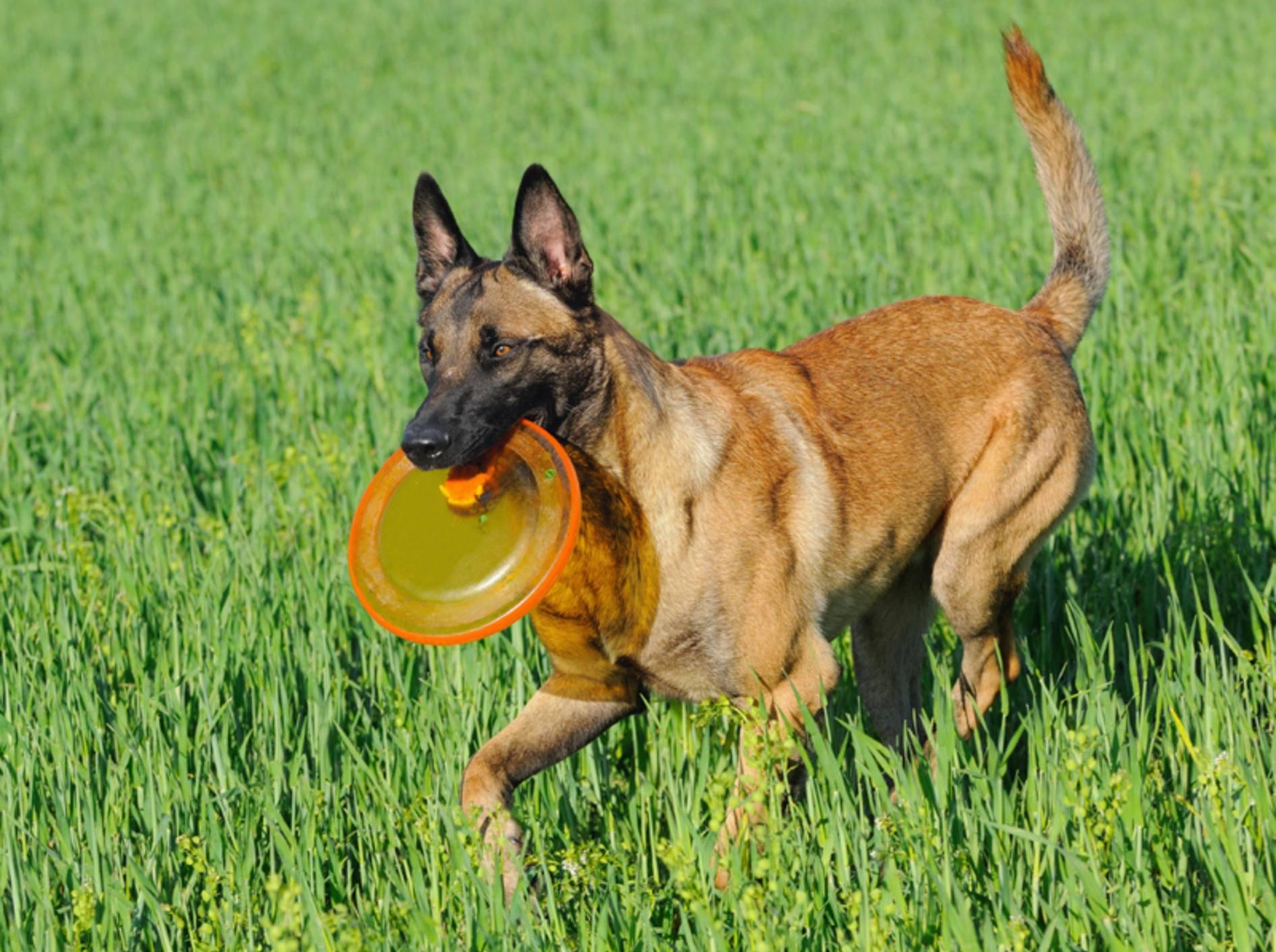 Ein intelligenter und liebevoller Arbeitshund, das beschreibt das Wesen des Belgischen Schäferhunds sehr treffend – Bild: Shutterstock / AnetaPics