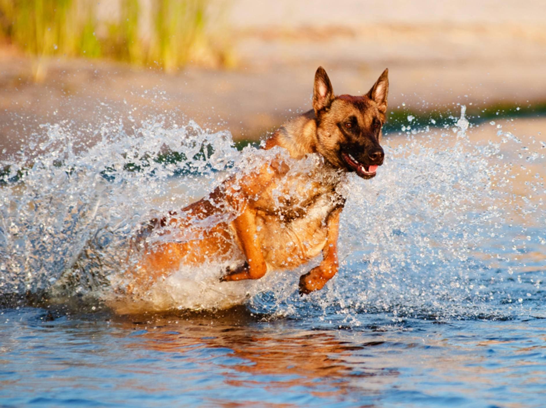 Aktiv und temperamentvoll: So sind Belgische Schäferhunde – Bild: Shutterstock / otsphoto