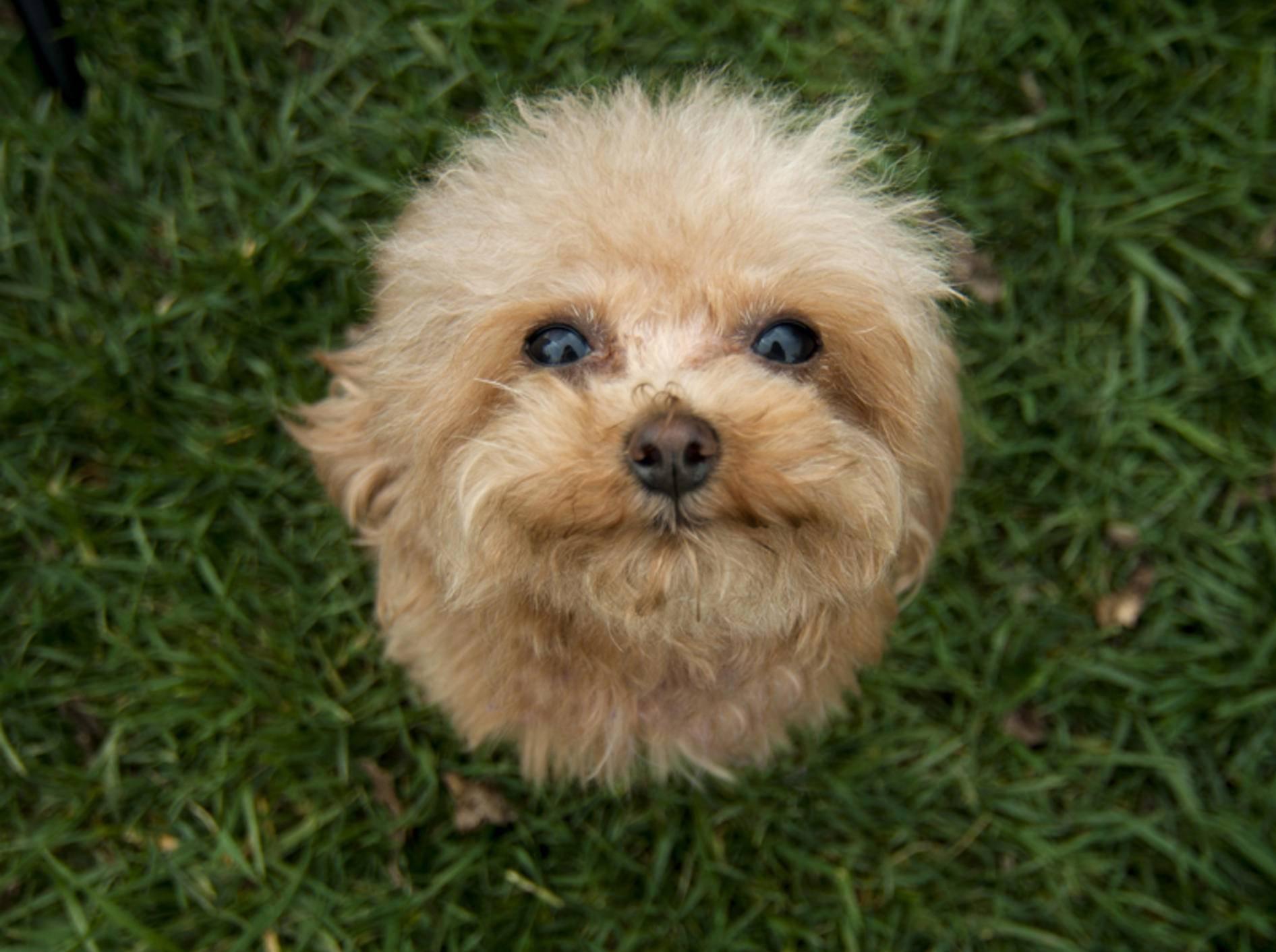 Der wuschelige kleine Bichon Frisé freut sich über Spielgefährten – Bild: Shutterstock / Eloine Chapman