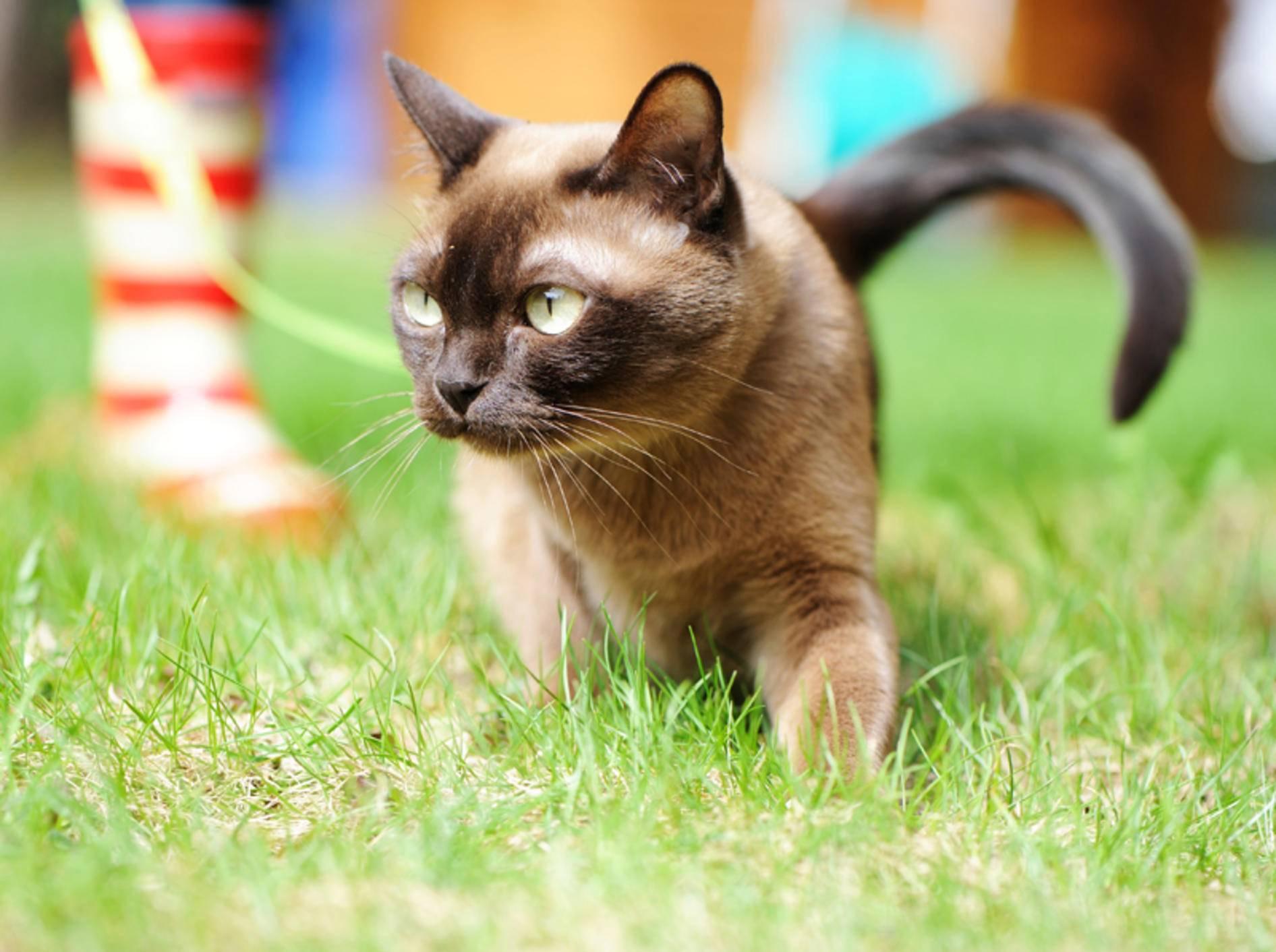 Die Burma-Katze: So halten und pflegen Sie die Samtpfote – Bild: Shutterstock / Alinute Silzevicuite