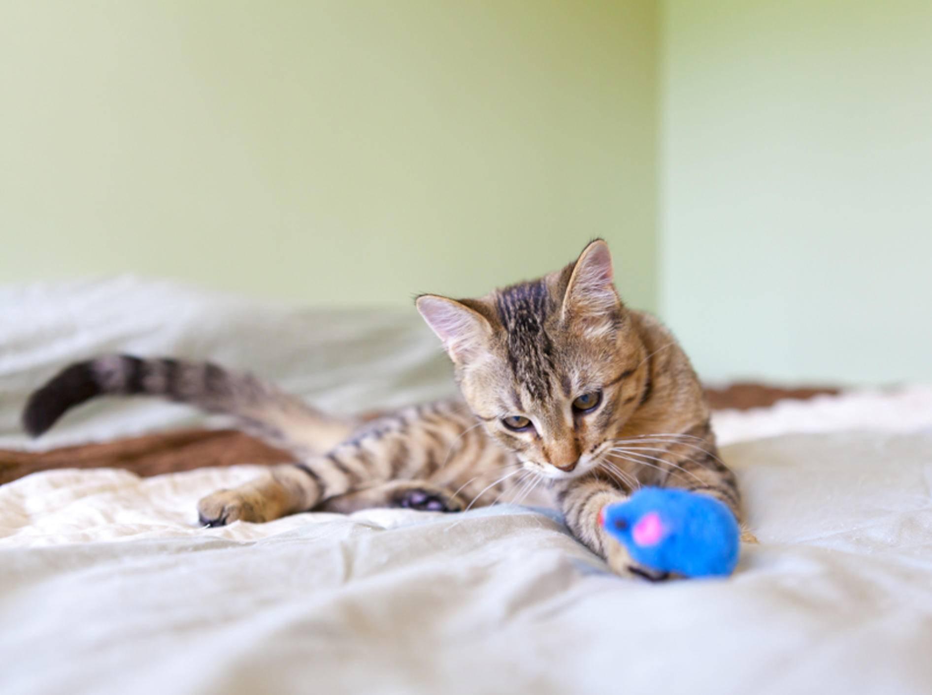 Mit diesen Tipps sorgen Sie für Abwechslung und Spielspaß bei Ihrer Katze – Bild: Shutterstock / MaxyM