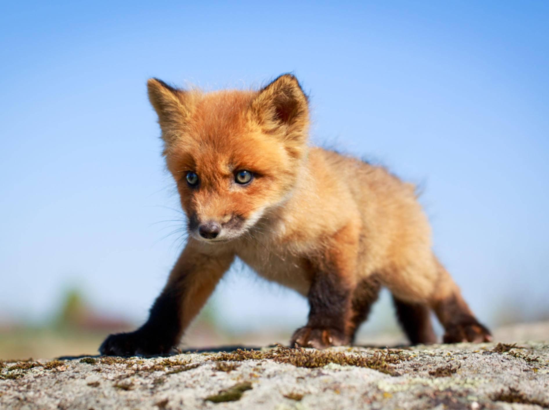 So tapsig sind Rotfüchse als Welpen – Bild: Shutterstock / DragoNika