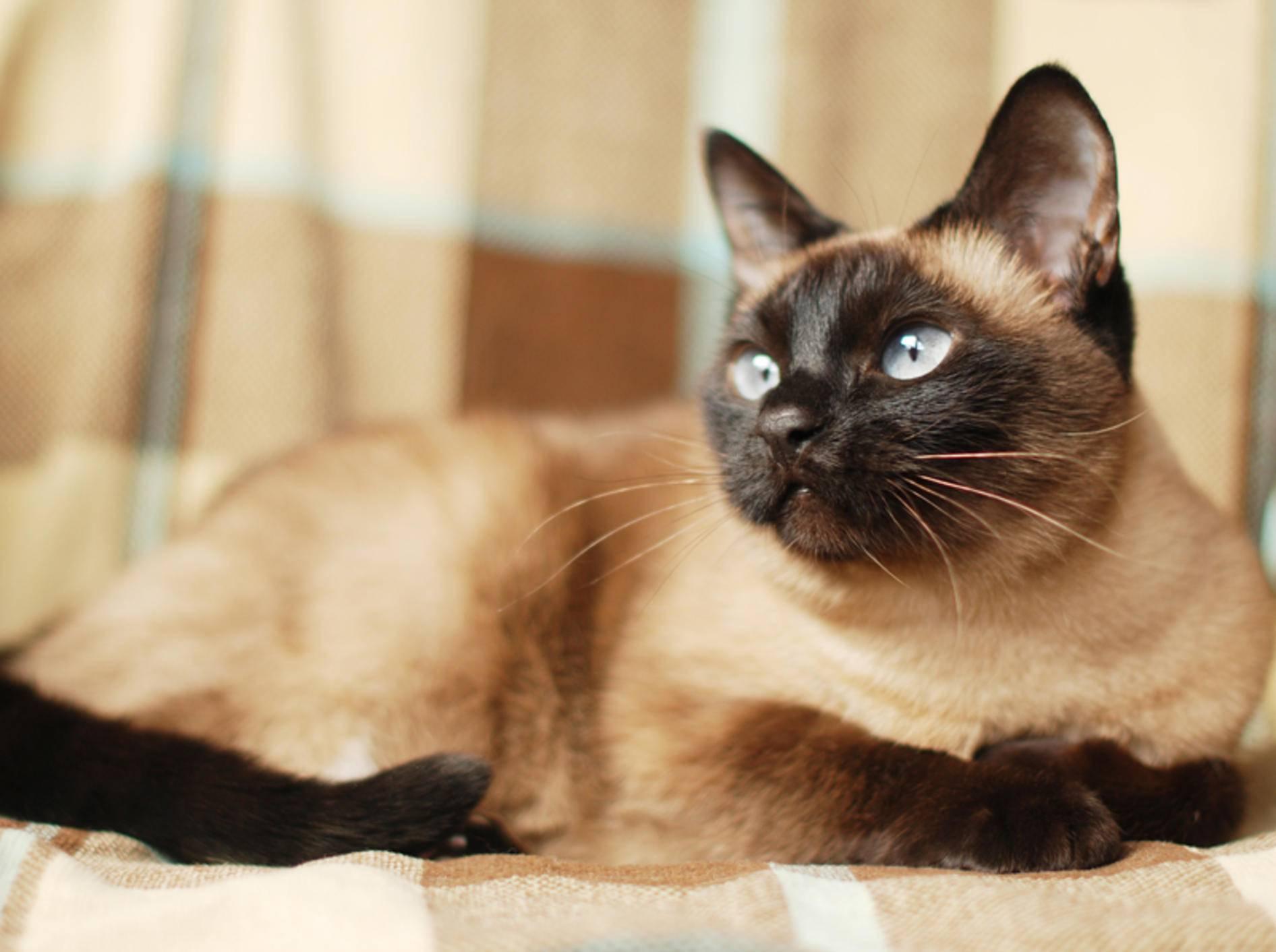 Die zierliche Siamkatze stammt aus dem heutigen Thailand und gehört zu den ältesten Katzenrassen der Welt – Bild: Shutterstock / vivver