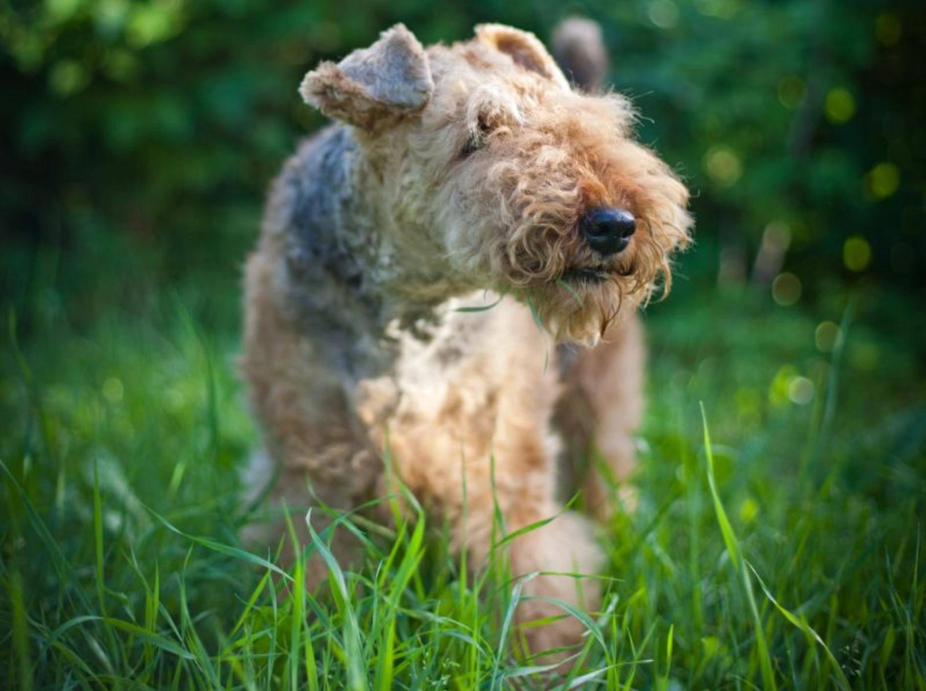 Der Airedale Terrier gehört einer britischen Hunderasse an – Bild: Shutterstock / dezi
