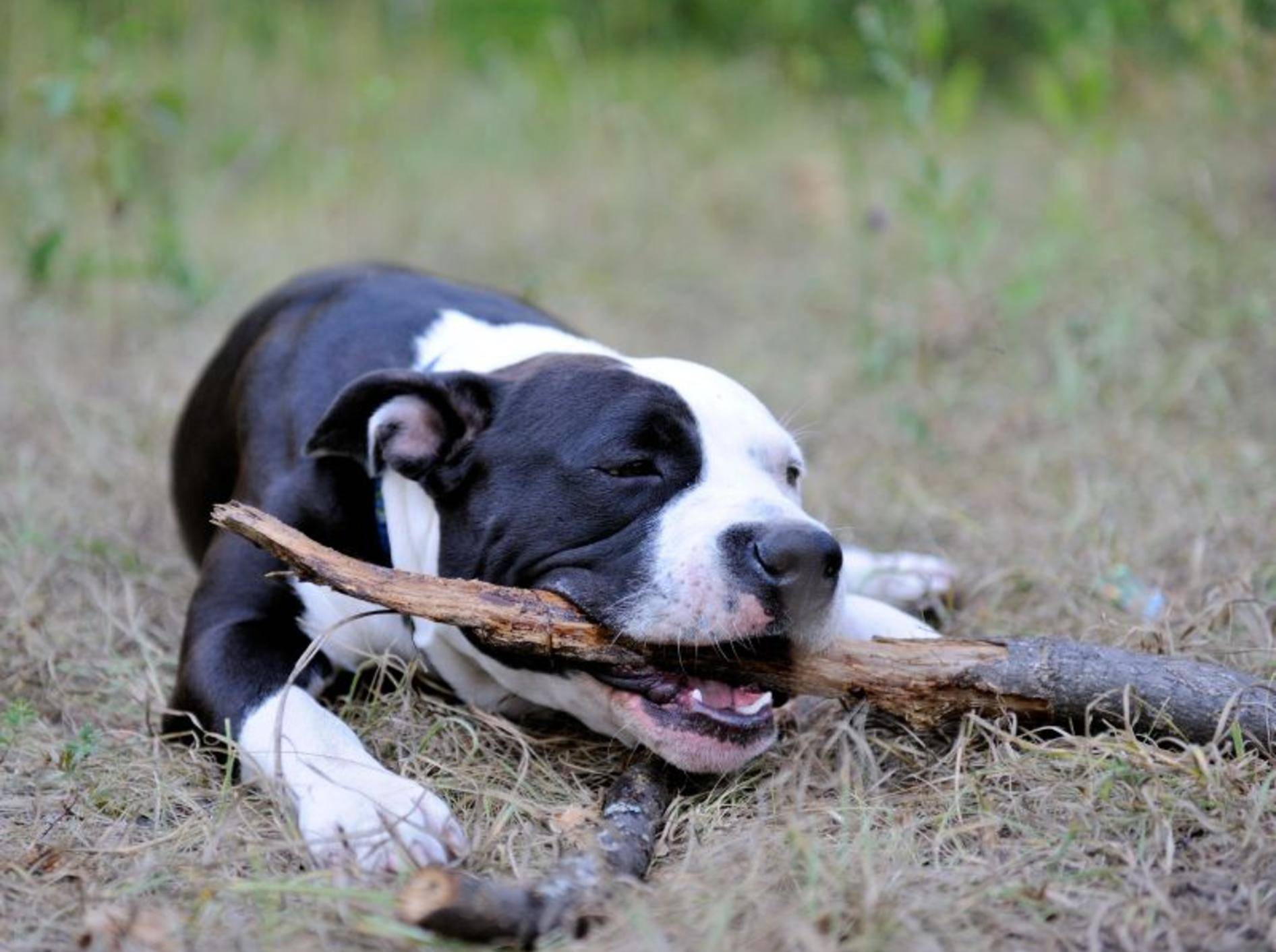 In den richtigen Händen zeigt der American Staffordshire Terrier nur das Beste von seinem Charakter – Bild: Shutterstock / alexapro